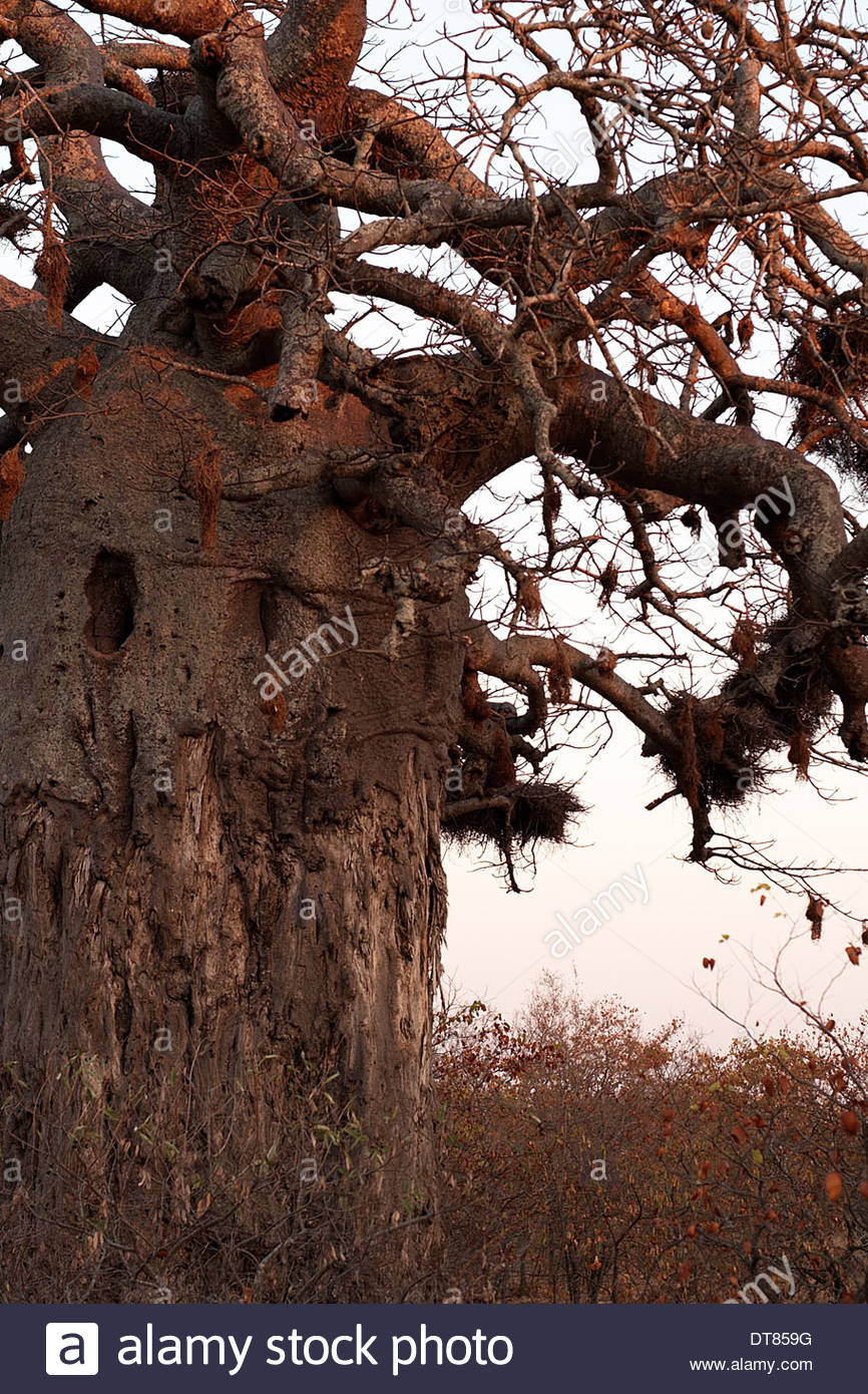 A big baobab tree(Adansonia) growing in Kruger National Park, Sth Africa. Refuge for the weaver bird(Ploceidae). Also known as the 'dead-rat-tree'. - Stock Image