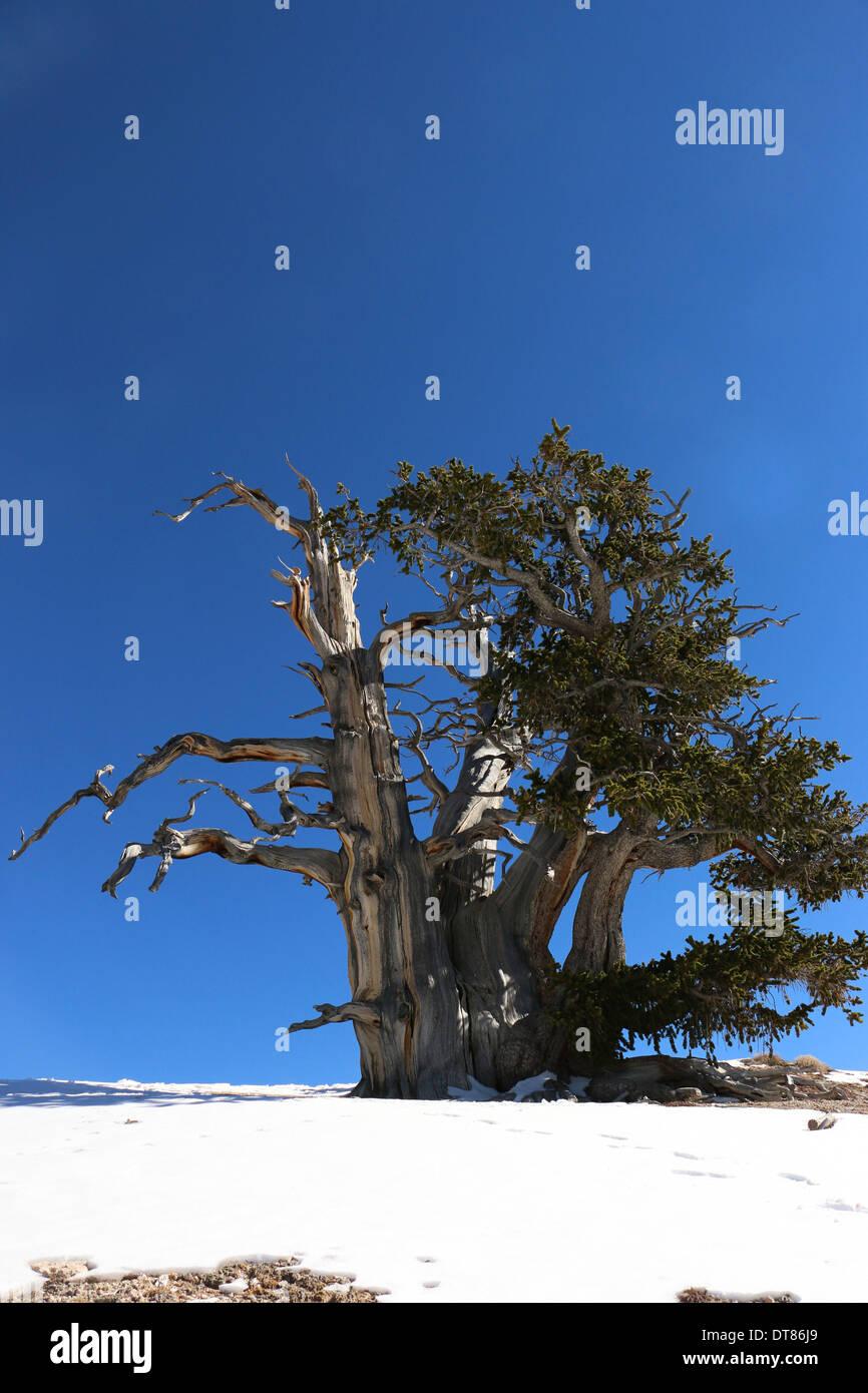 Great Basin bristlecone pine trees Cedar Breaks National Monument Utah - Stock Image