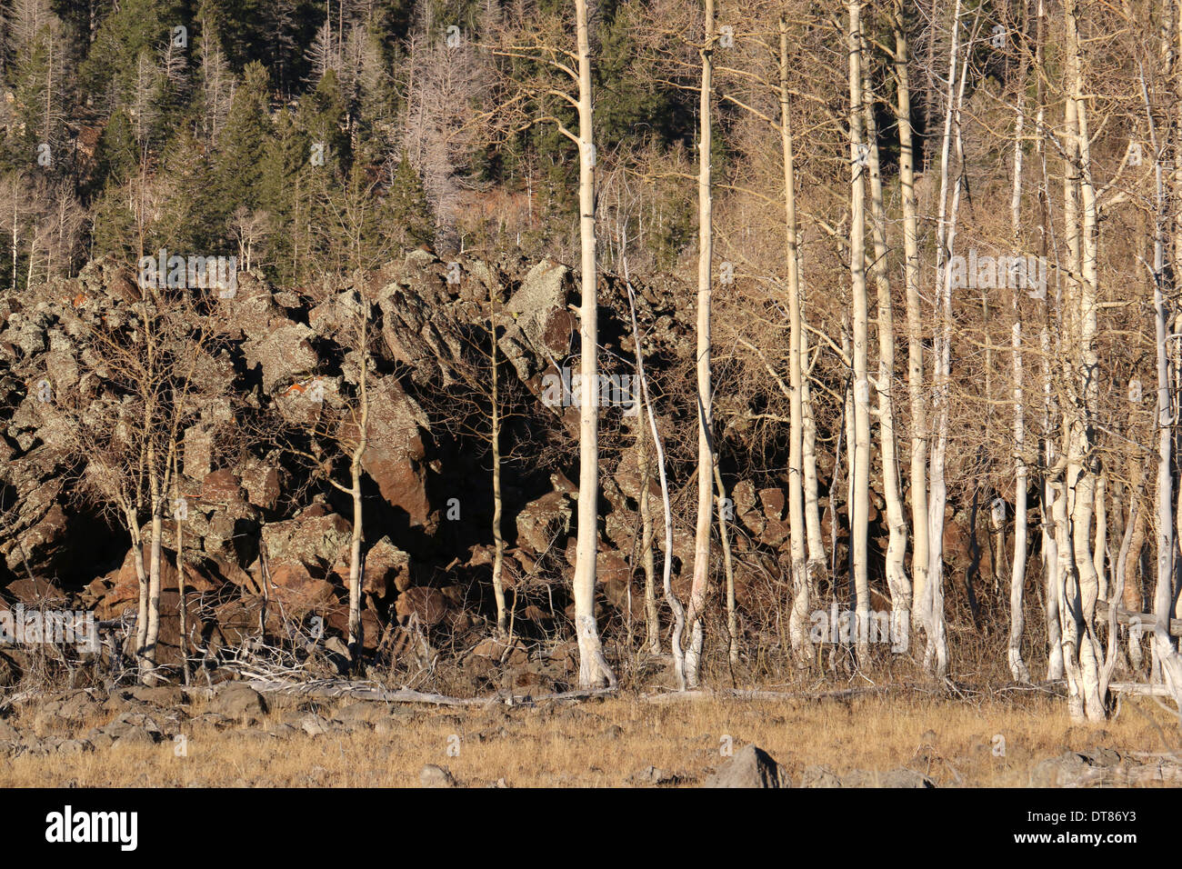 trees on ahah basaltic flows lava Markagunt Plateau volcanic field Utah volcano person people hike family - Stock Image