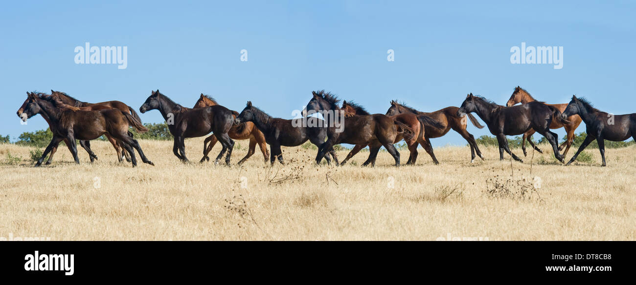 Herd of Quarter Horse weanlings run - Stock Image