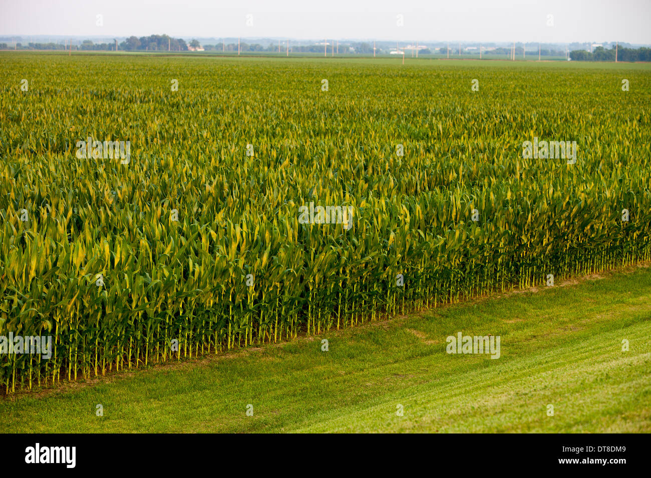 A tall corn field in Central Illinois. - Stock Image