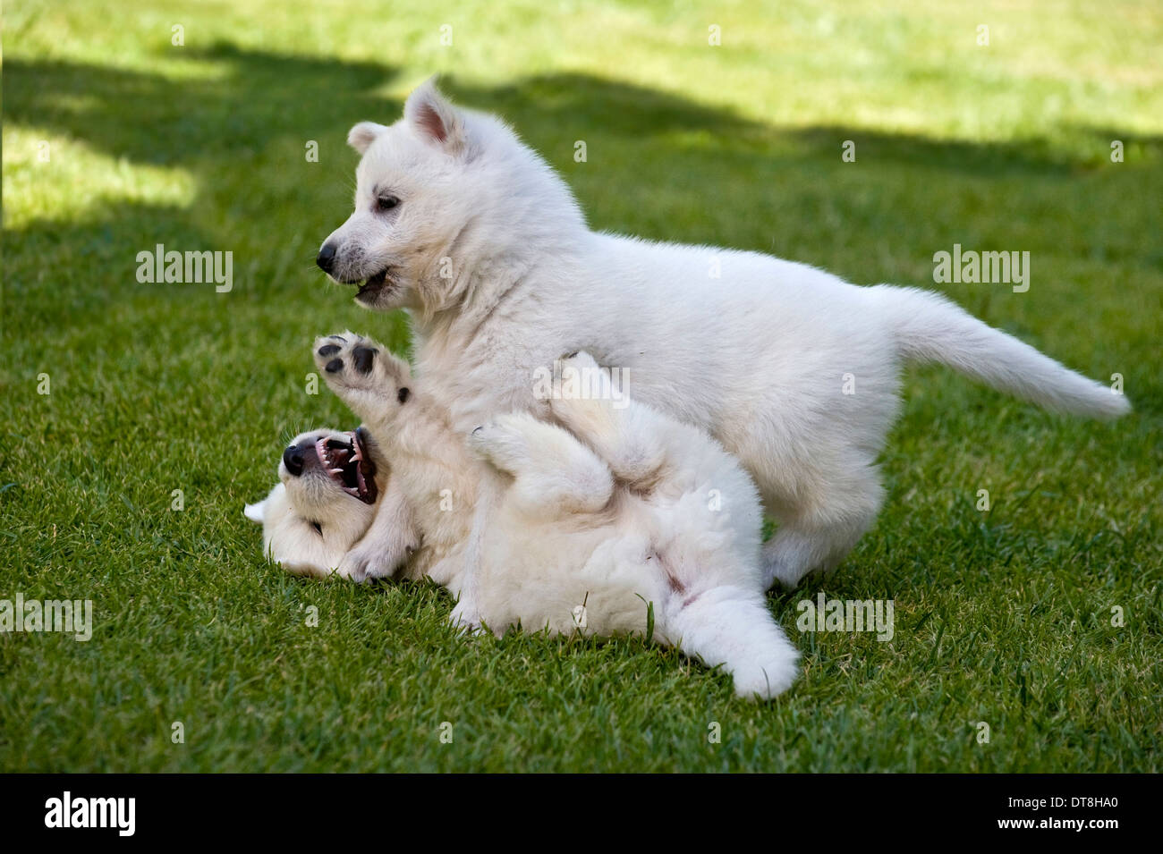 Berger Blanc Suisse Two Puppies 5 Weeks Old Squabbling On A Lawn