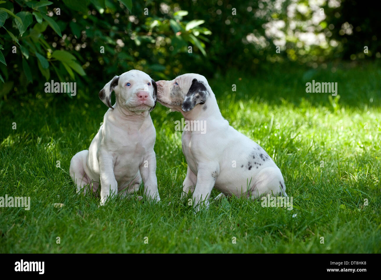 Great Dane Puppy Weeks Old High Resolution Stock Photography And Images Alamy