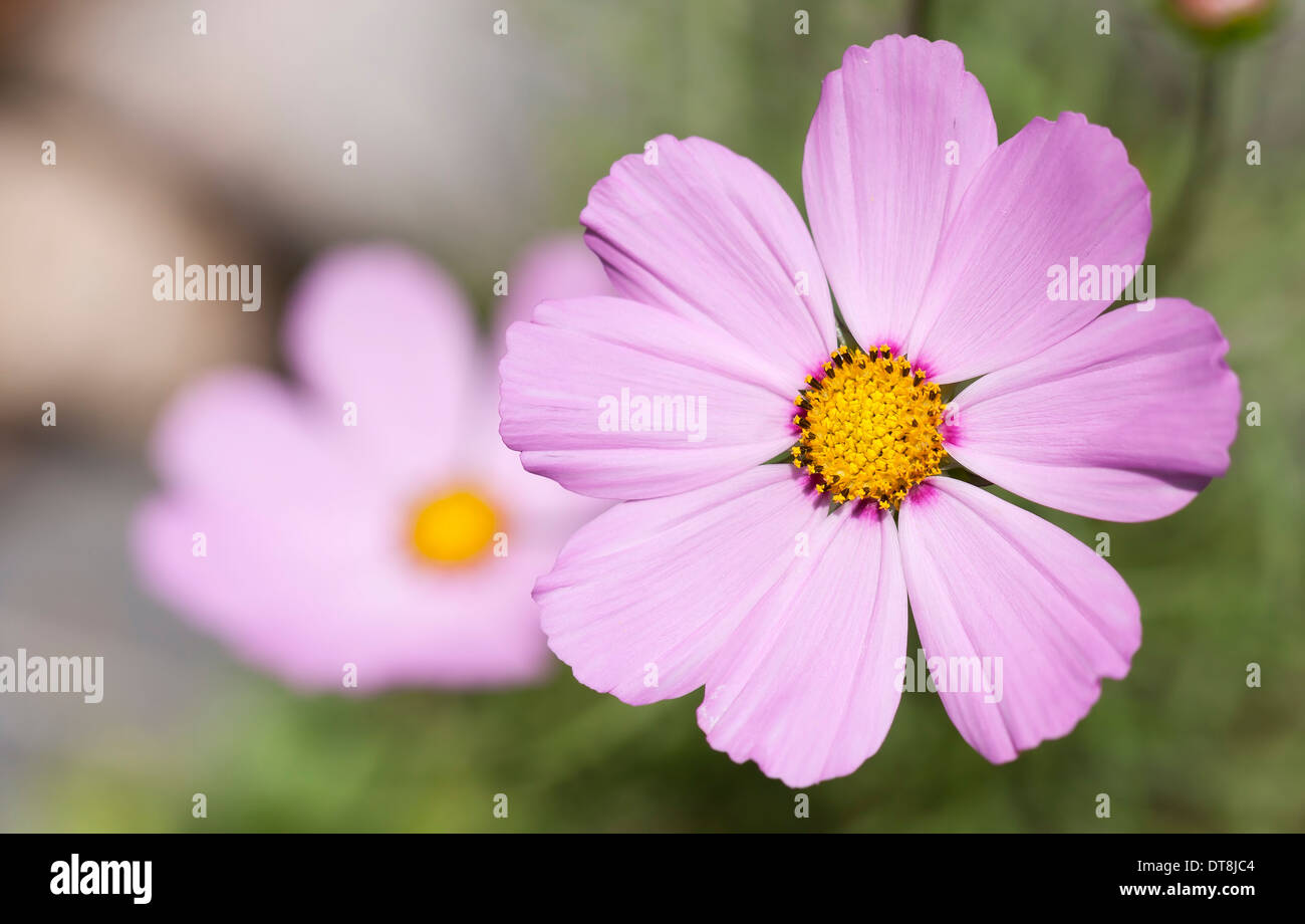 Cosmo flower stock photos cosmo flower stock images alamy closeup of a bloom of beautiful pink cosmos flower stock image mightylinksfo
