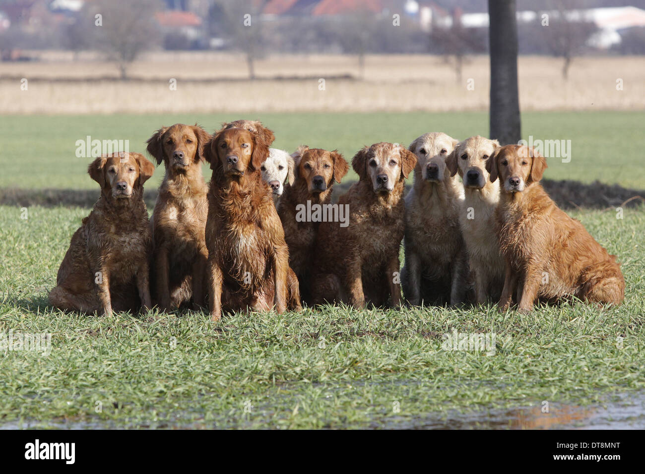 Golden Retriever Group Of Dogs In Different Coat Colours From Light
