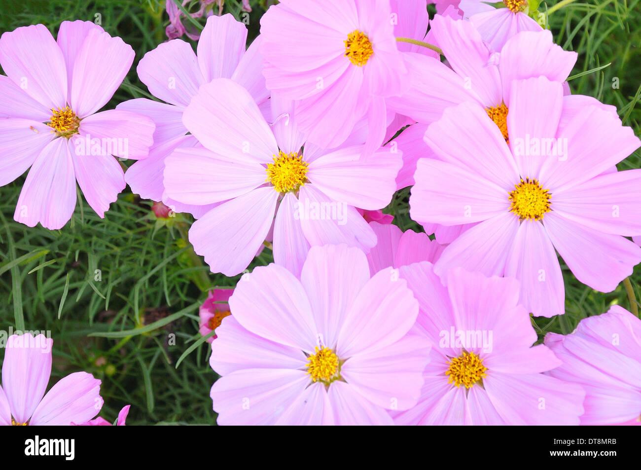 Bouquet daisy like stock photos bouquet daisy like stock images pink of many small flower look like stars stock image izmirmasajfo