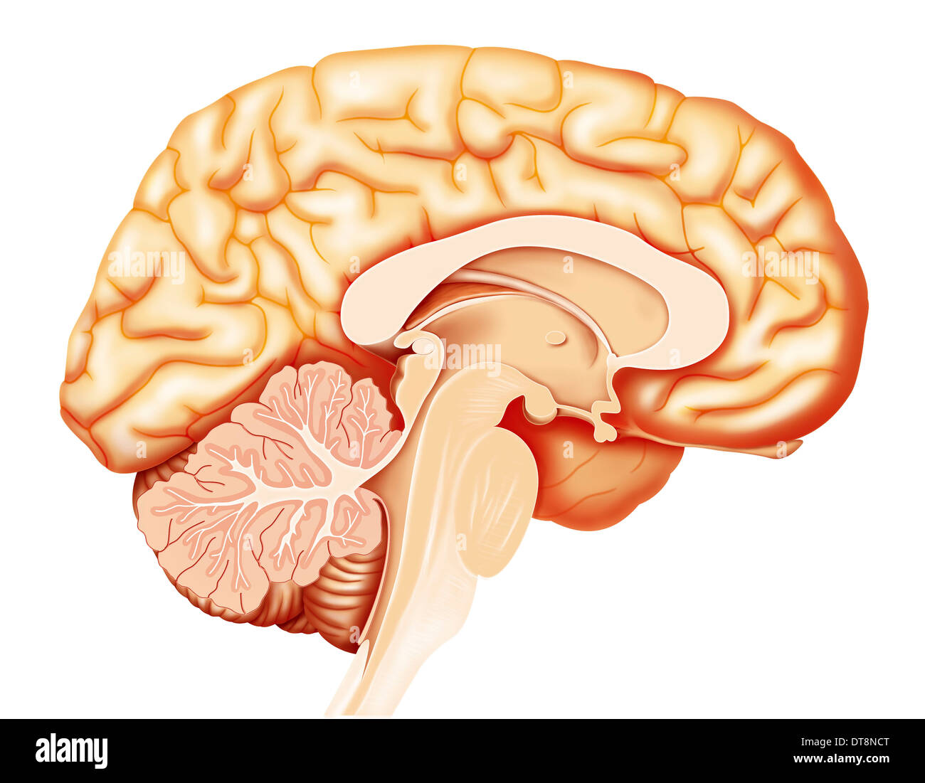 BRAIN DRAWING - Stock Image