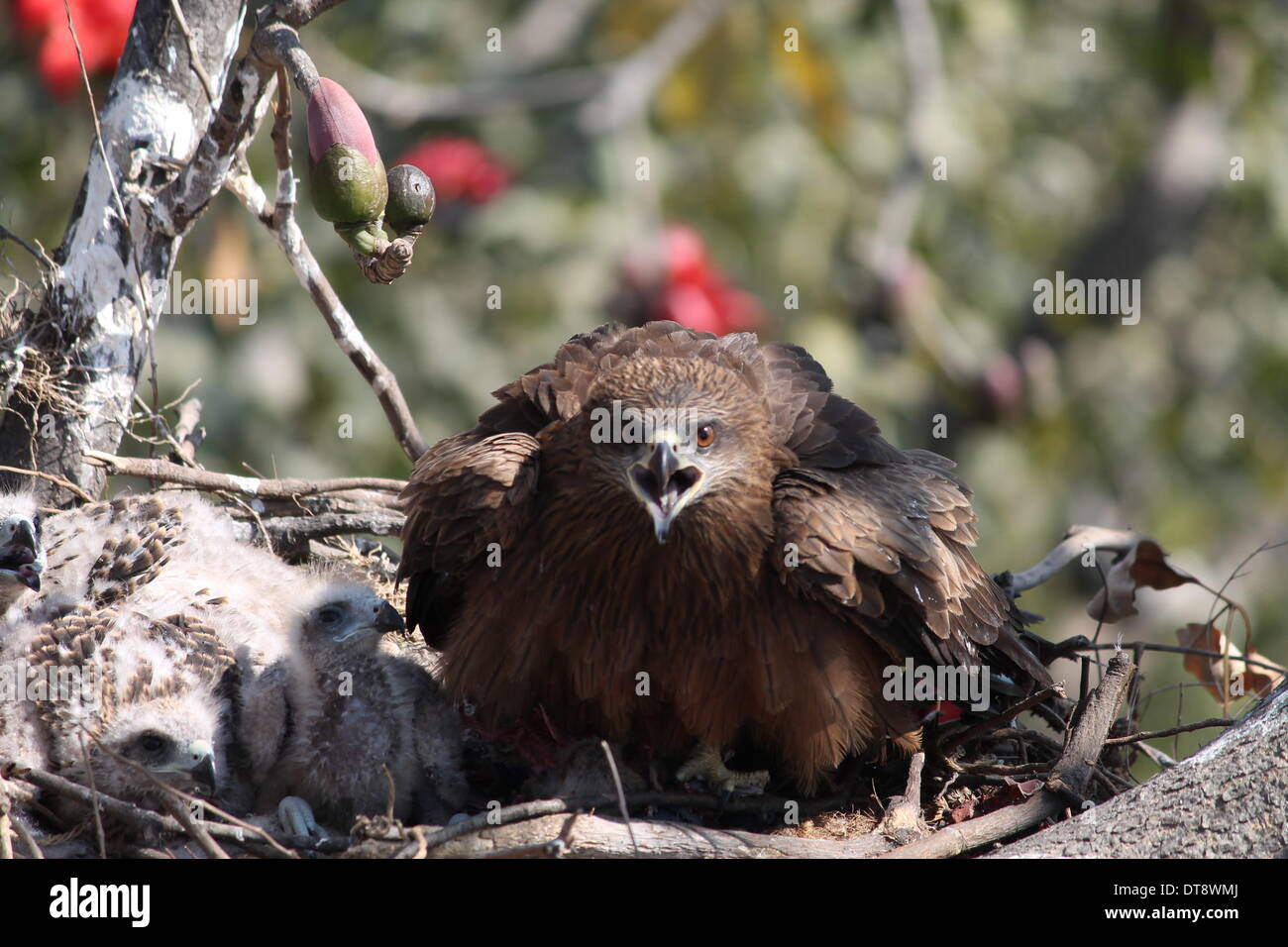 Gandhi Maidan Patna, Bihar, India, February 12th, 2014. Black kite today. She just finished lunch. A little relaxed and will take rest. Credit:  Rupa Ghosh/ Alamy Live News. - Stock Image