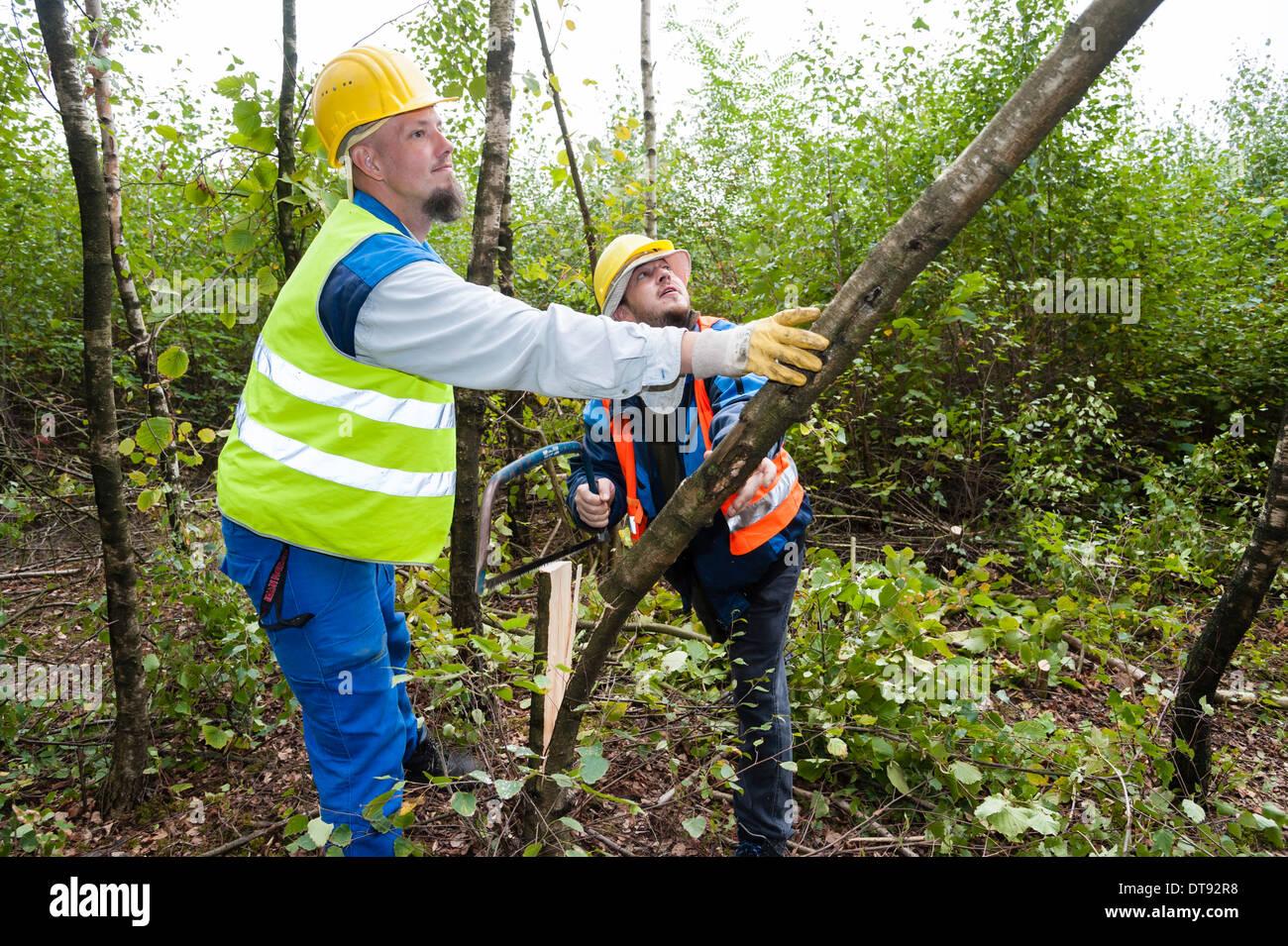 Two young lumberjacks cut down a birch tree. Stock Photo