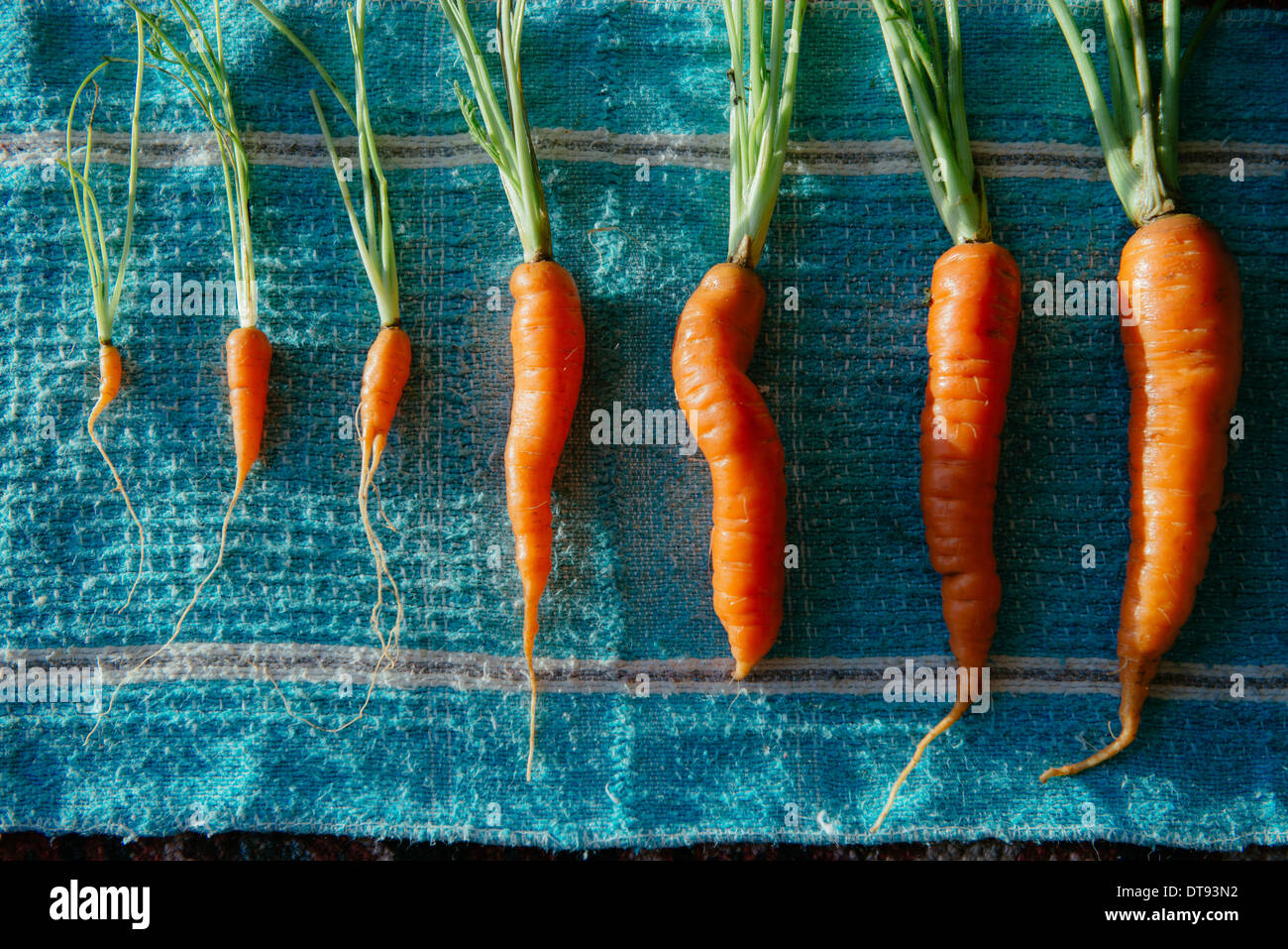family of carrots of different sizes laid out against a dishcloth on a sunlit table - Stock Image