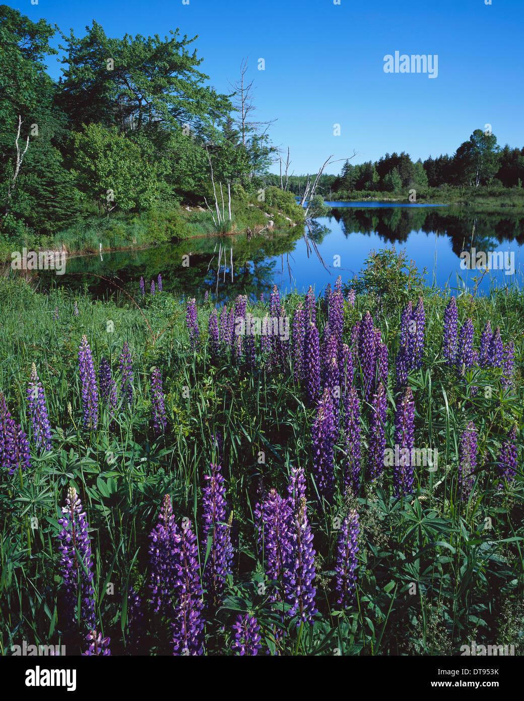 Lupin & Lake - Stock Image