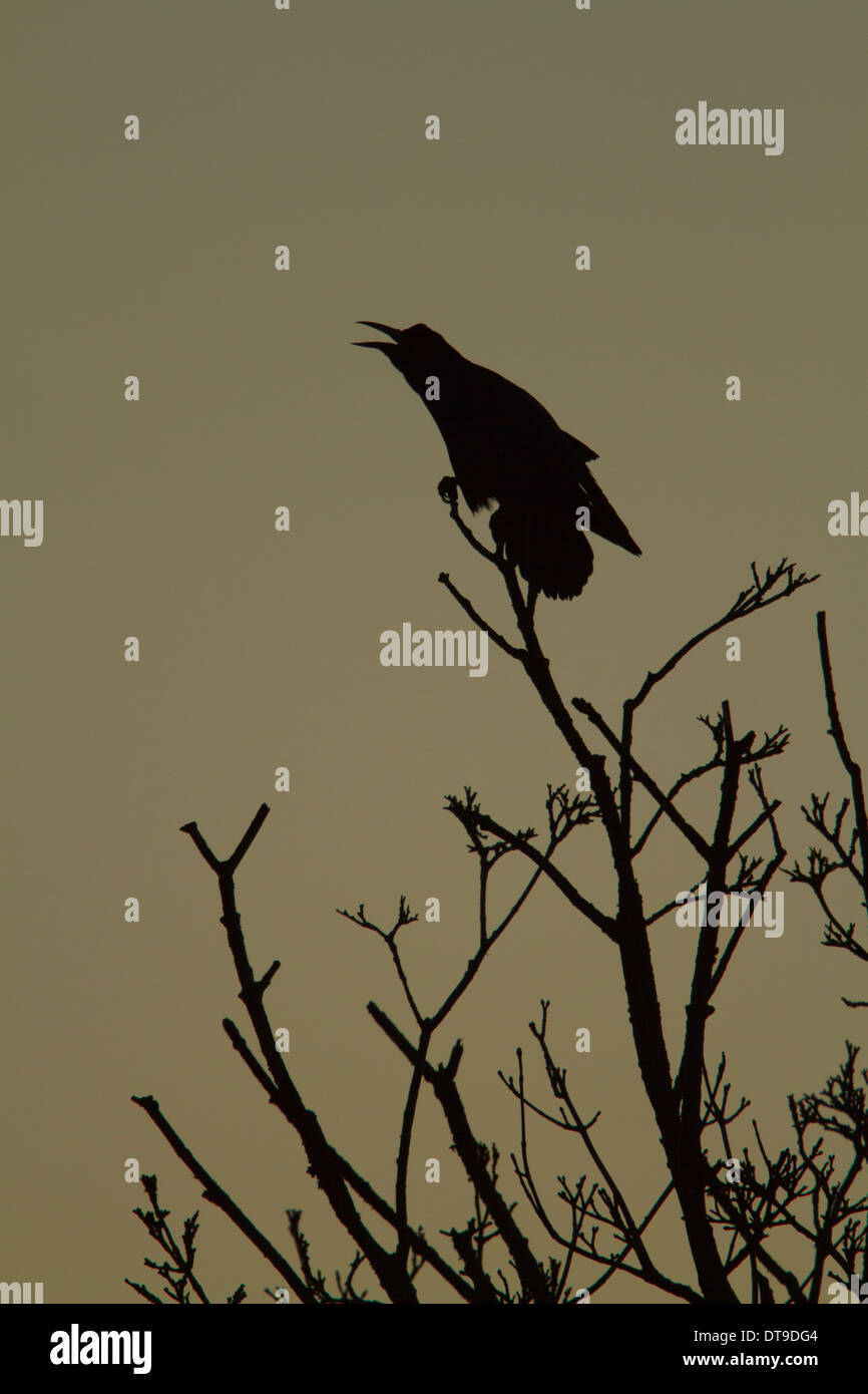 Rook (Corvus frugilegus), adult, calling whilst perched in tree at dawn, Slimbridge, Gloucestershire, England, December - Stock Image