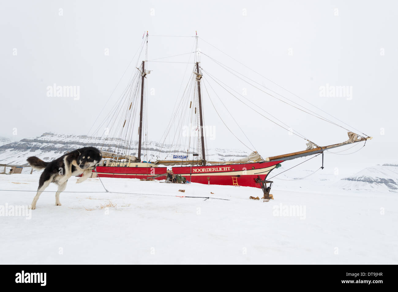 Leaping sled dog in the snow in front of the Noorderlicht 'Ship in the Ice', Temple Fjord (Tempelfjorden), Spitsbergen, Svalbard Archipelago, Norway - Stock Image