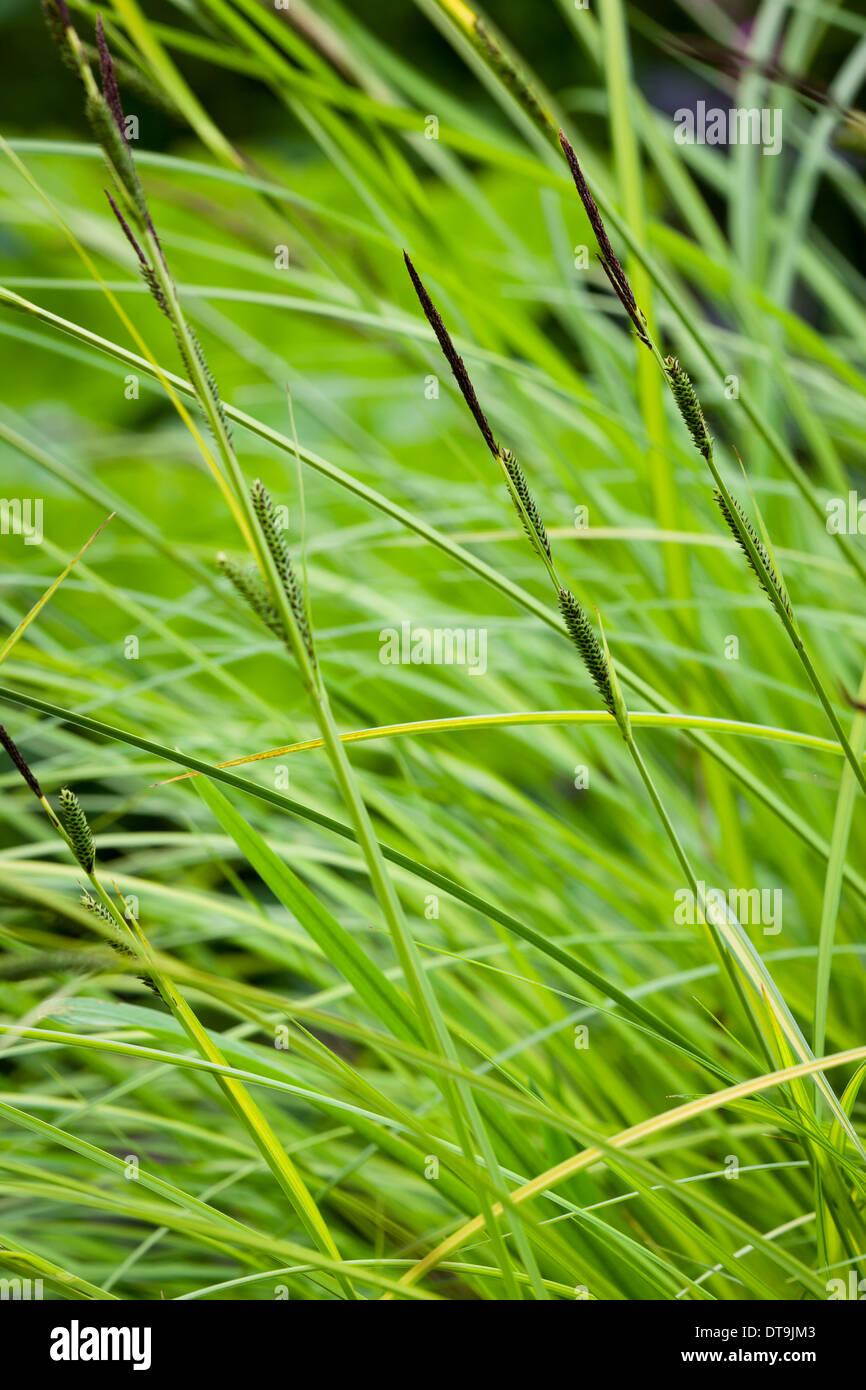 Bowles' golden sedge (Carex elata 'Aurea') - Stock Image