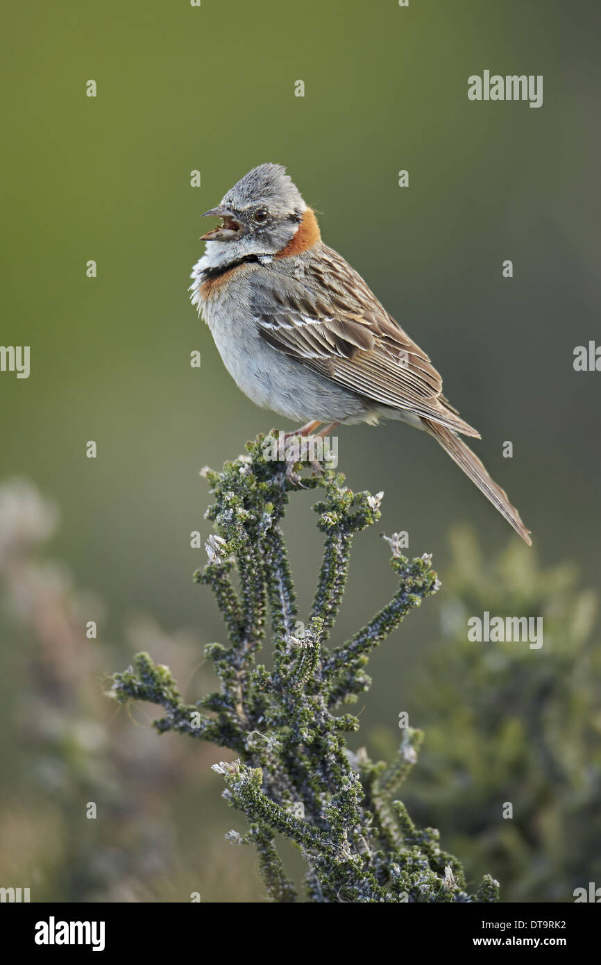Rufous-collared Sparrow (Zonotrichia capensis) adult singing perched on bush Torres del Paine N.P. Southern Patagonia Stock Photo
