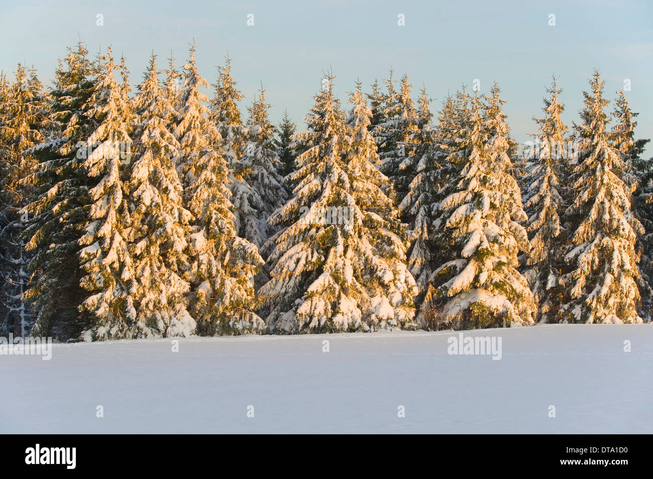 Norway spruce (Picea abies) covered with snow in the evening light, Thuringia, Thuringian Forest, Germany - Stock Image