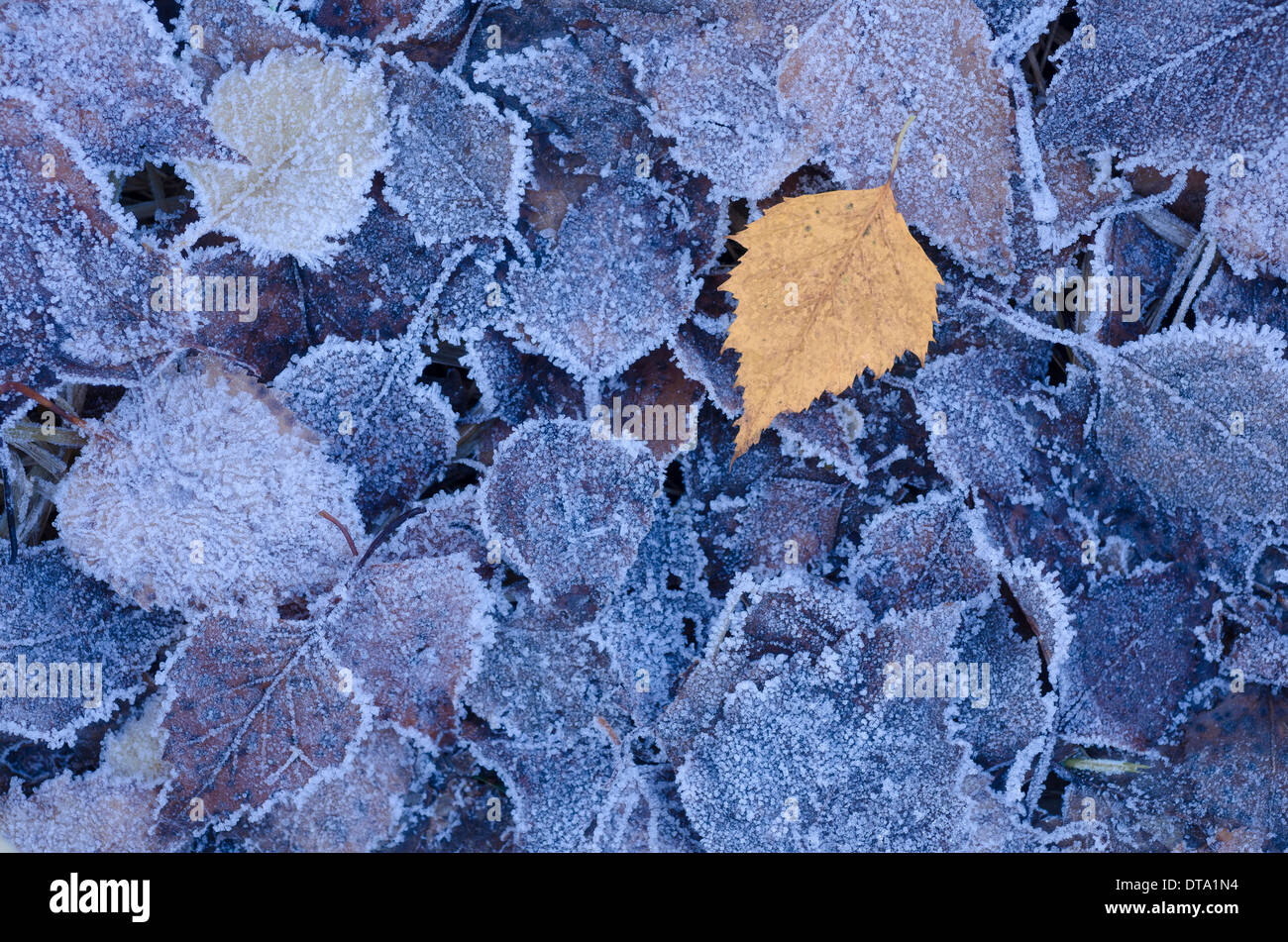 Hoarfrost on birch leaves, Brandenburg, Germany - Stock Image