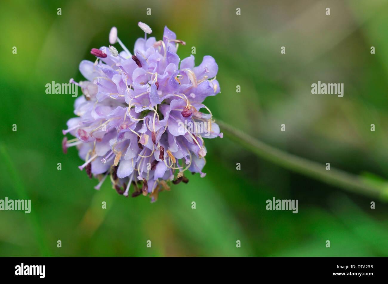 Devils-bit Scabious - Succisa pratensis - Stock Image