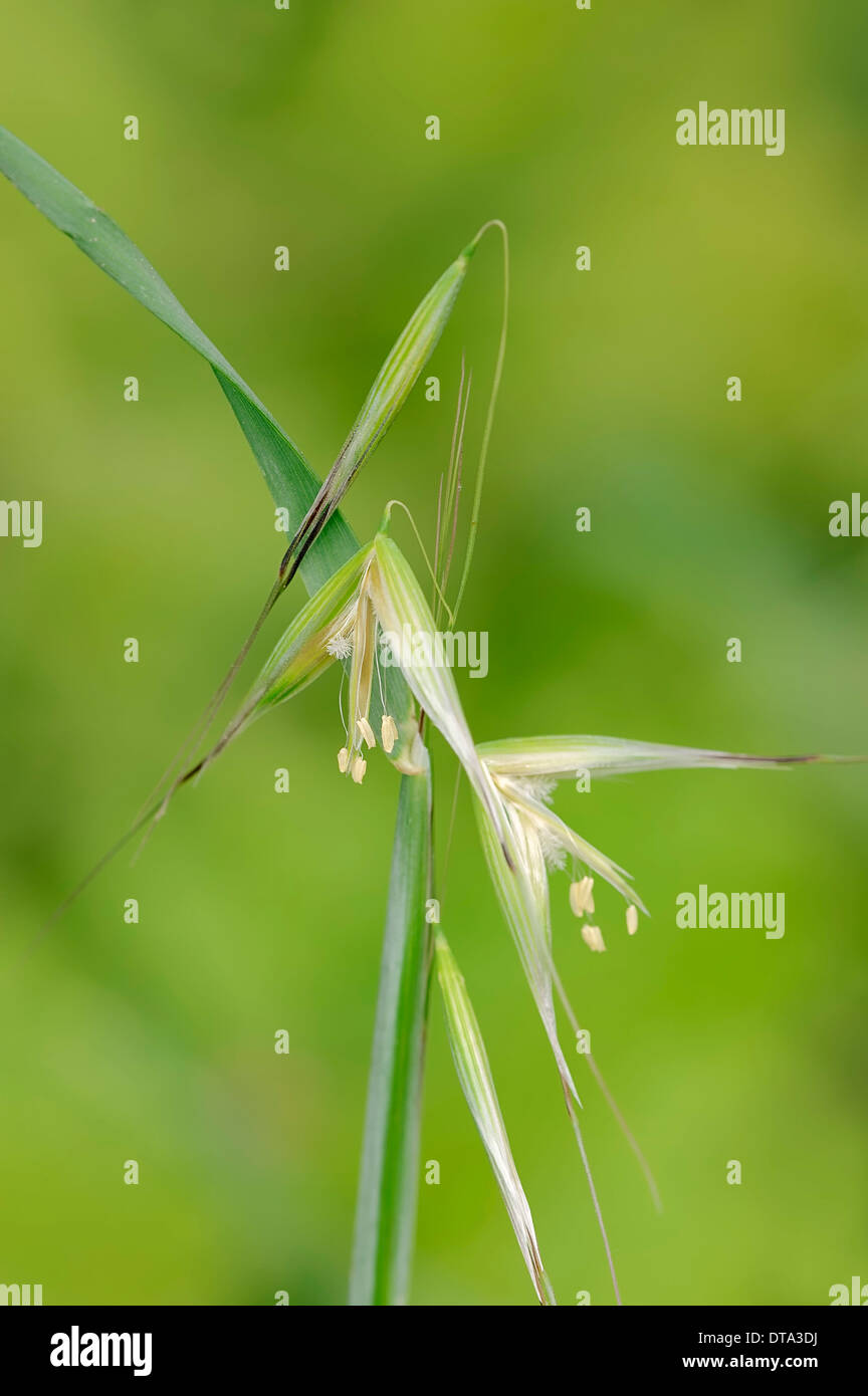 Animated Oat or Sterile Oat (Avena sterilis), flowers, Provence, Southern France, France Stock Photo