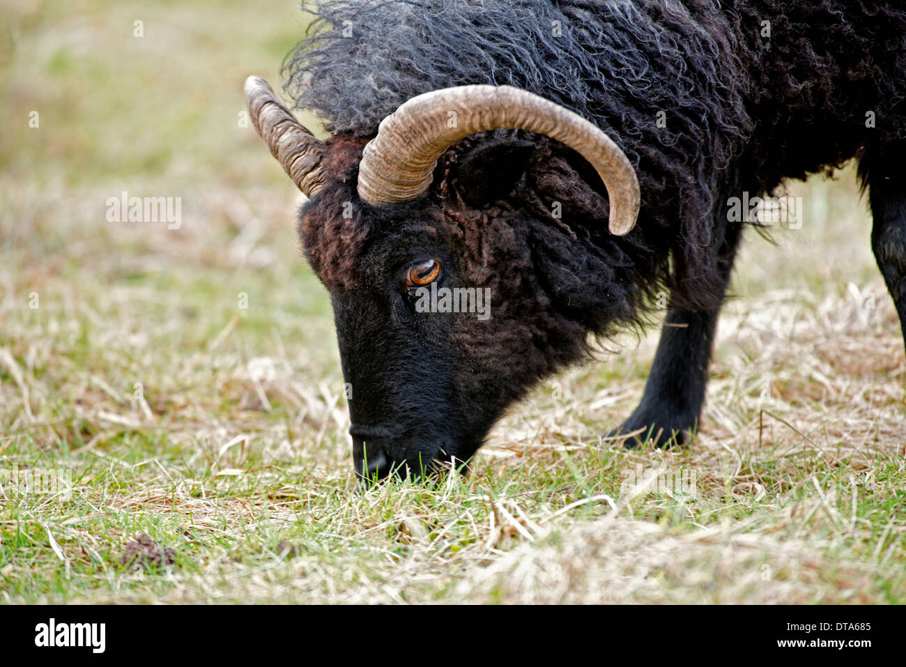 grazing; showing head. - Stock Image