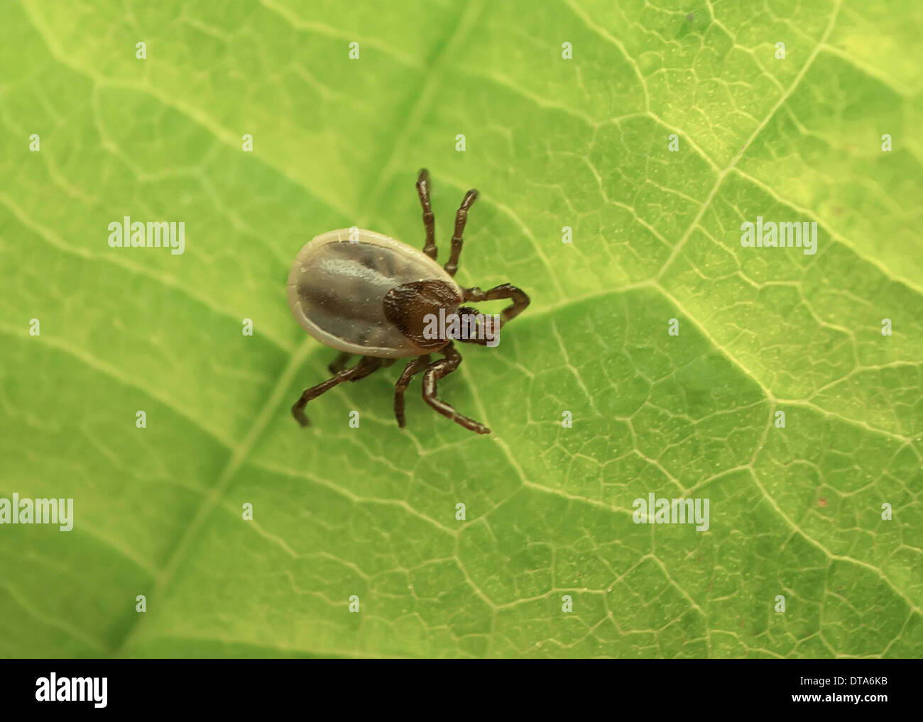 dorsal view of tick resting on leaf - Stock Image