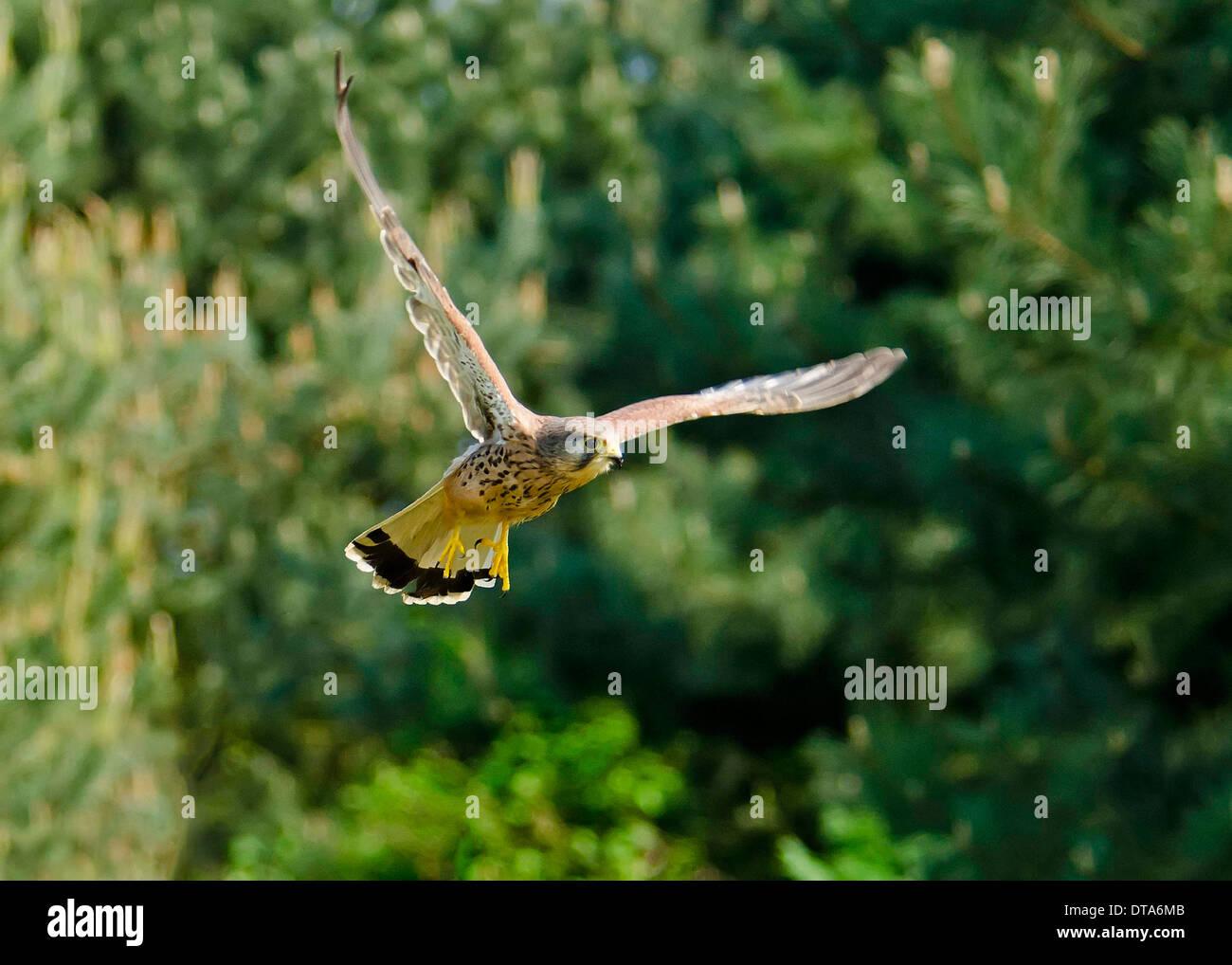 Kestrel,  male bird hovering - Stock Image