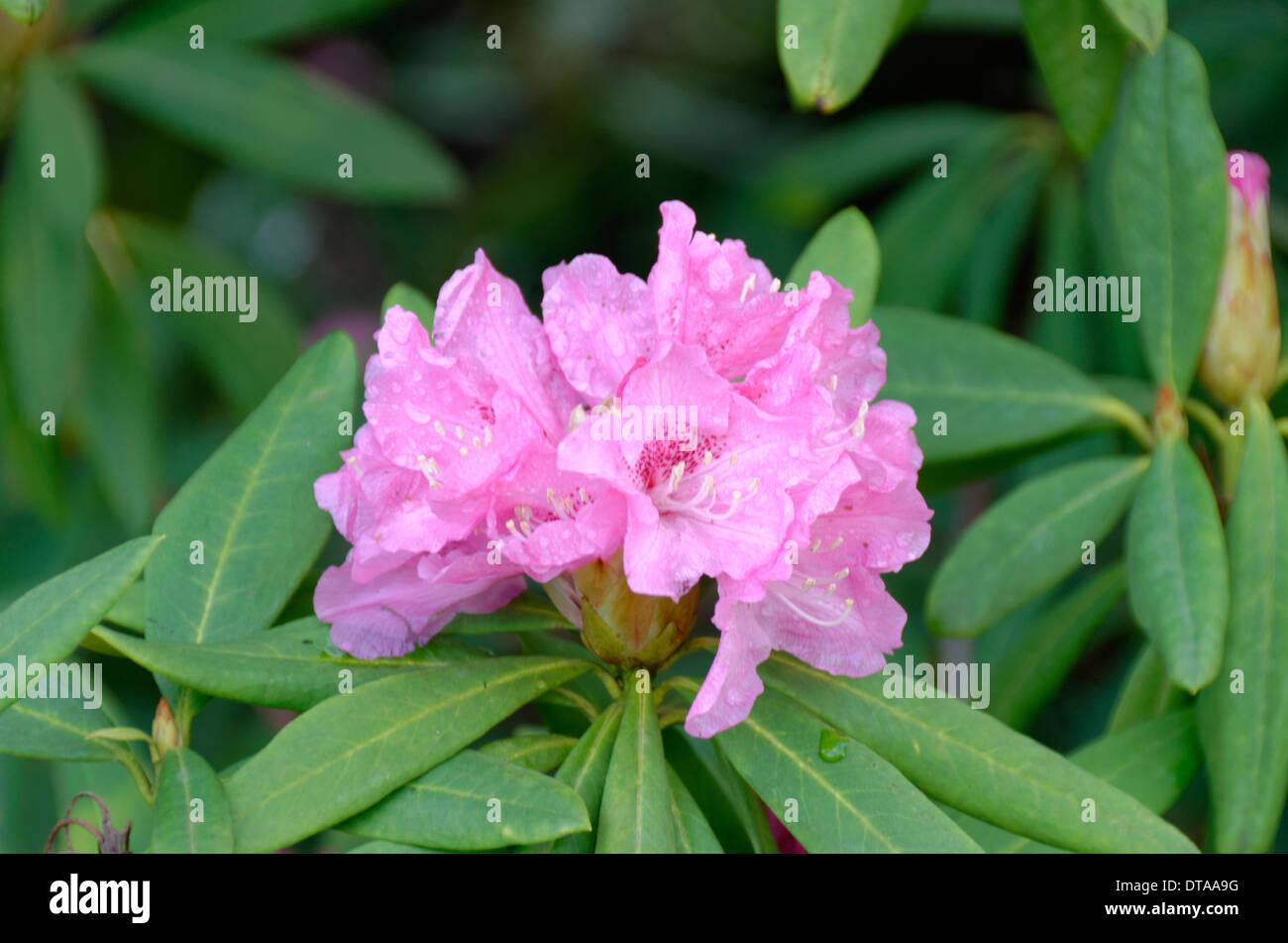 Rhododendron x Pulchemium - Stock Image
