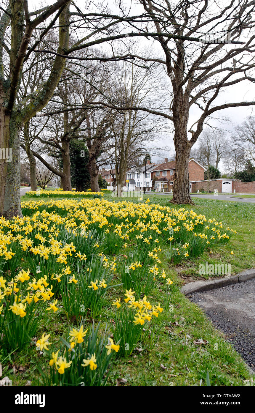 Daffodils in Ifield Avenue, Crawley, West Sussex - Stock Image