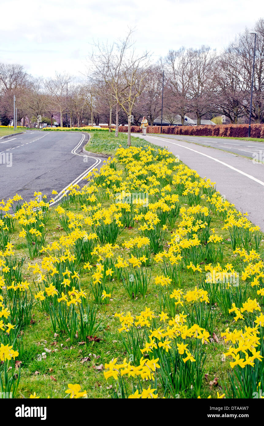 Daffodile in Ifield Avenue, Crawley, West Sussex, England - Stock Image