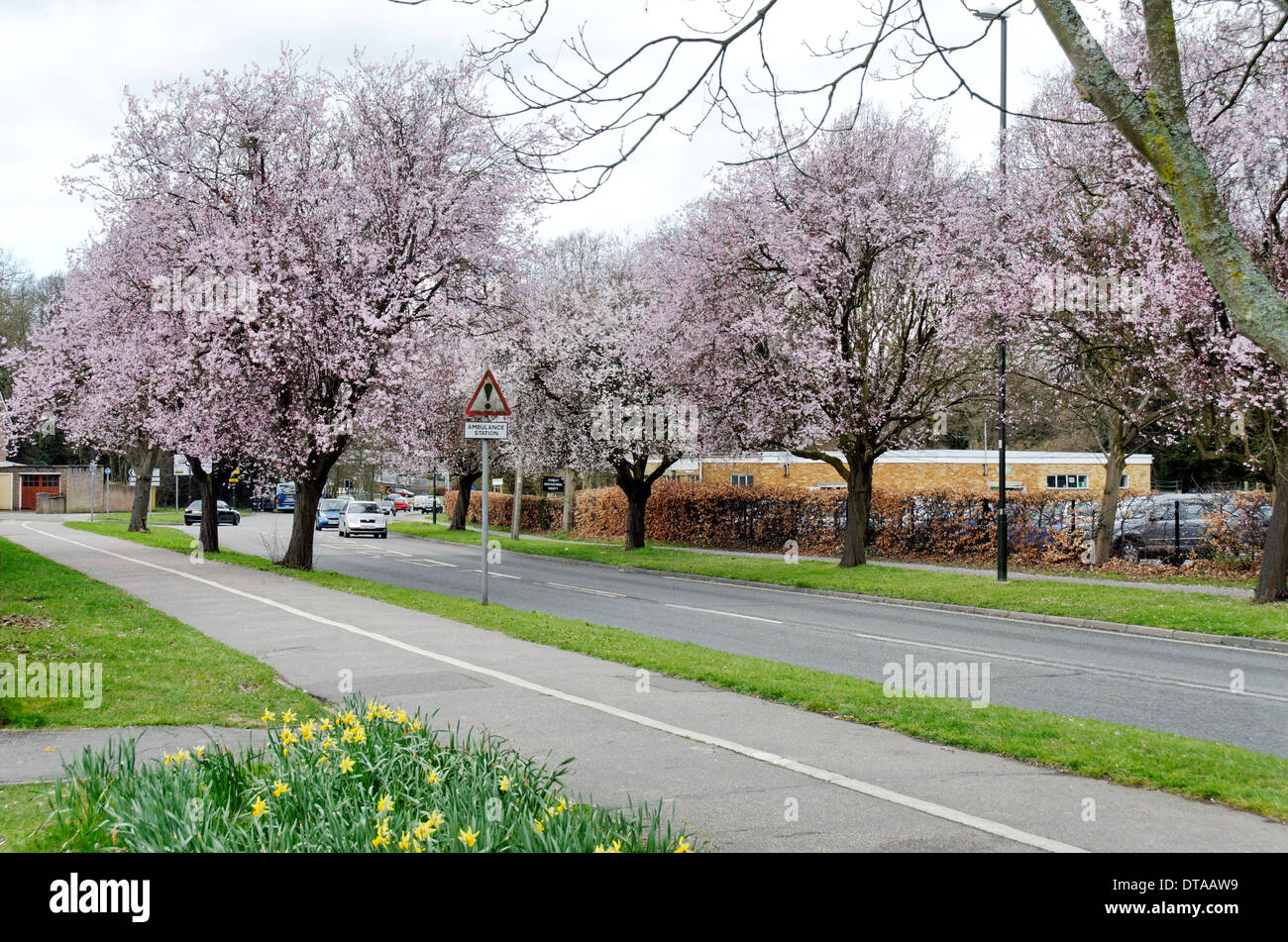 Daffodils & Flowering Ornamental Cherry Trees, Ifield Avenue, Crawley, West Sussex, England - Stock Image