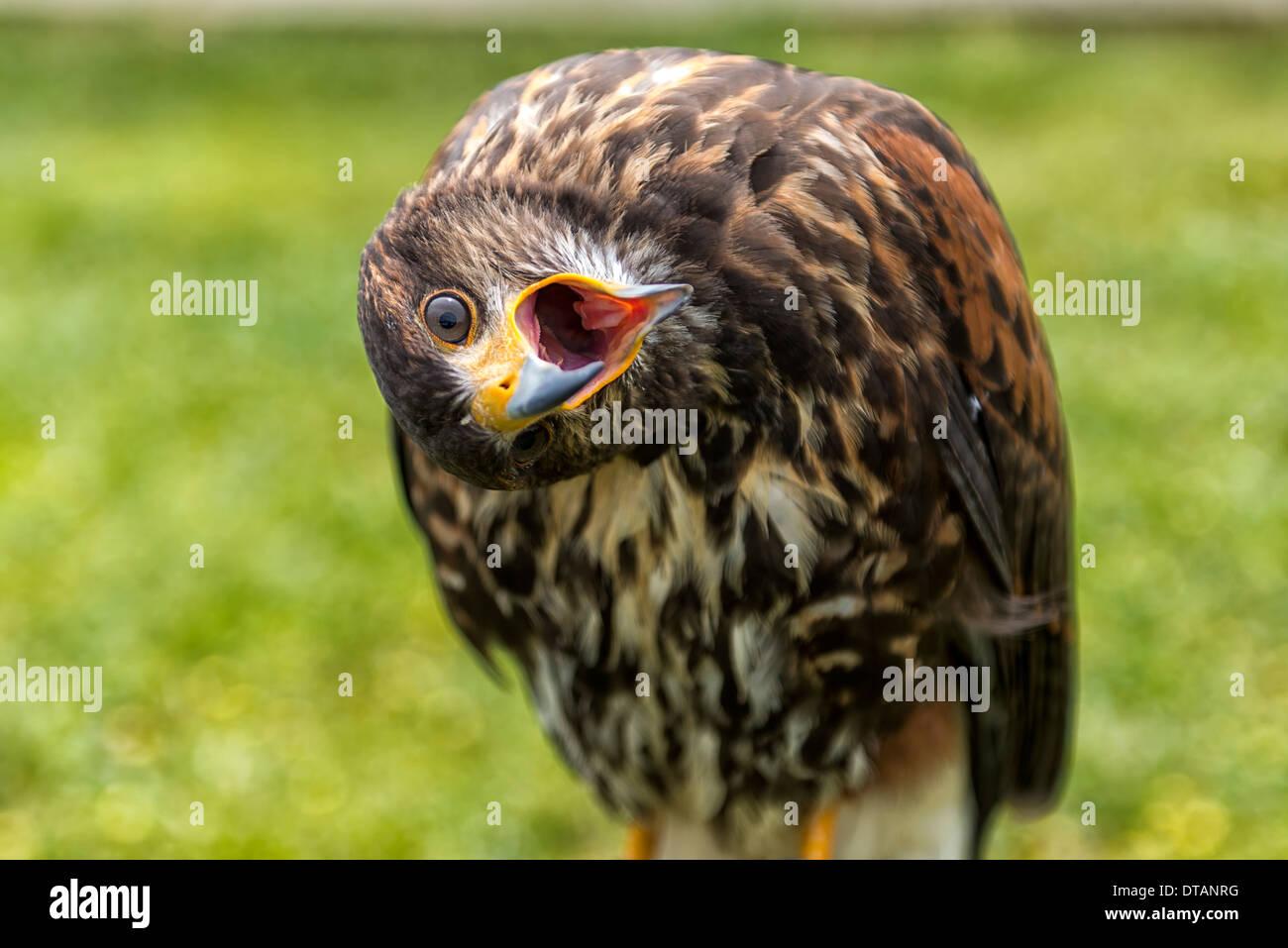A juvenille Peregrine Falcon - Stock Image