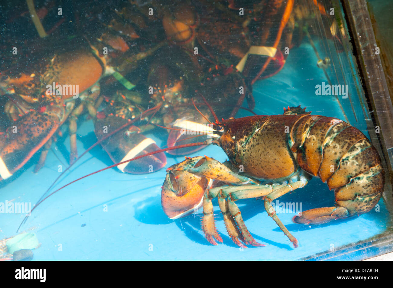 Fresh Lobster in a tank in Chinatown, Manhattan New York City, USA - Stock Image