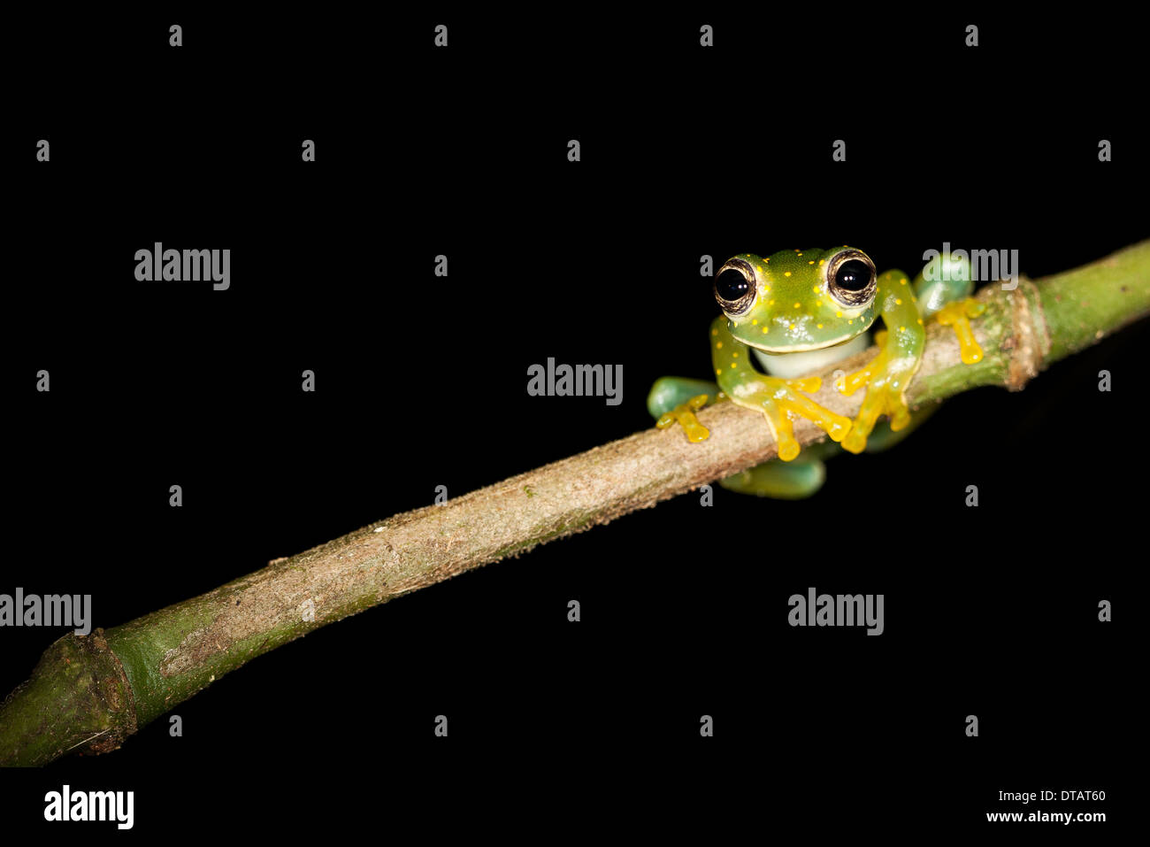 Yellow-flecked Glass Frog, Cochranella albomaculata, in the rainforest at Burbayar Nature Reserve, Republic of Panama. - Stock Image