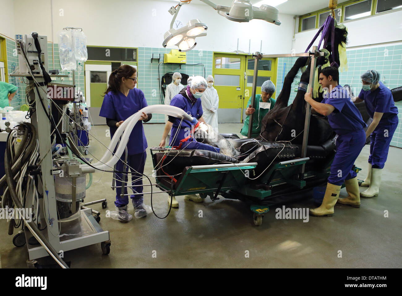Berlin, Germany, a horse is anesthetized intubated before surgery - Stock Image