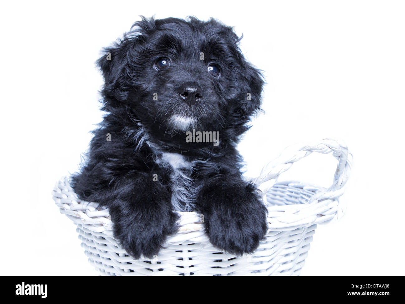 Black Aussie Doodle Puppy Sitting In Basket With Paws Up On
