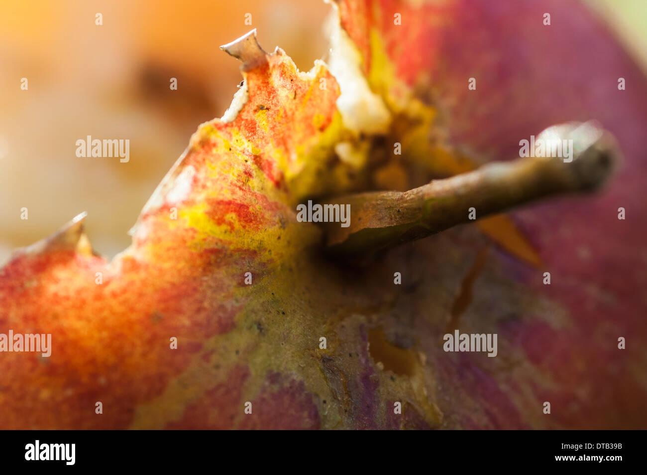 Closeup of a fallen apple that has been partially eaten by wildlife Stock Photo