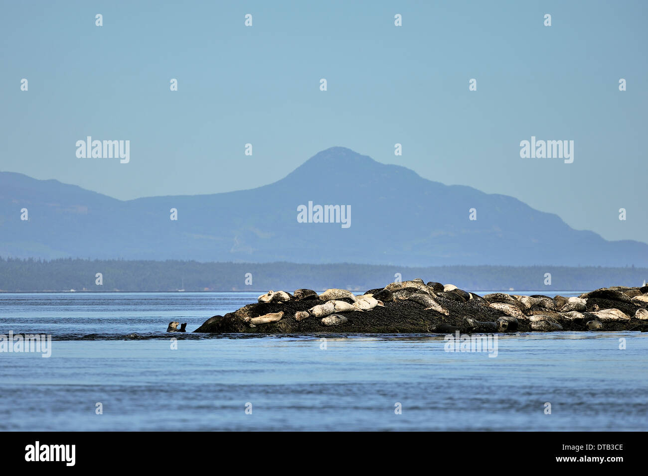 A herd harbor (or harbour) seals (Phoca vitulina) also known as the common seal basking in the sun on an island outcrop - Stock Image