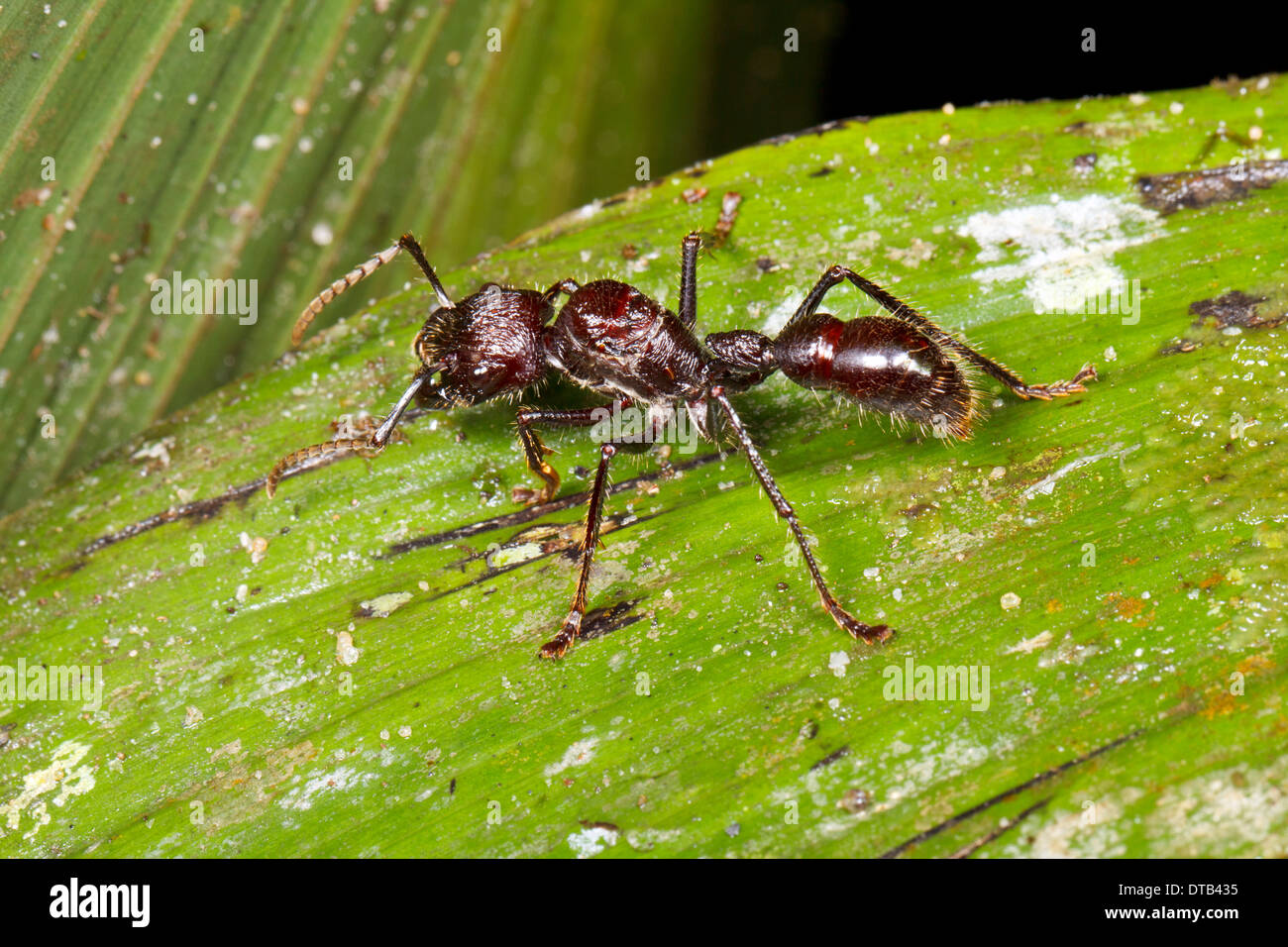 Bullet or Conga Ant (Paraponera Clavata) in the rainforest understory, Ecuador Stock Photo