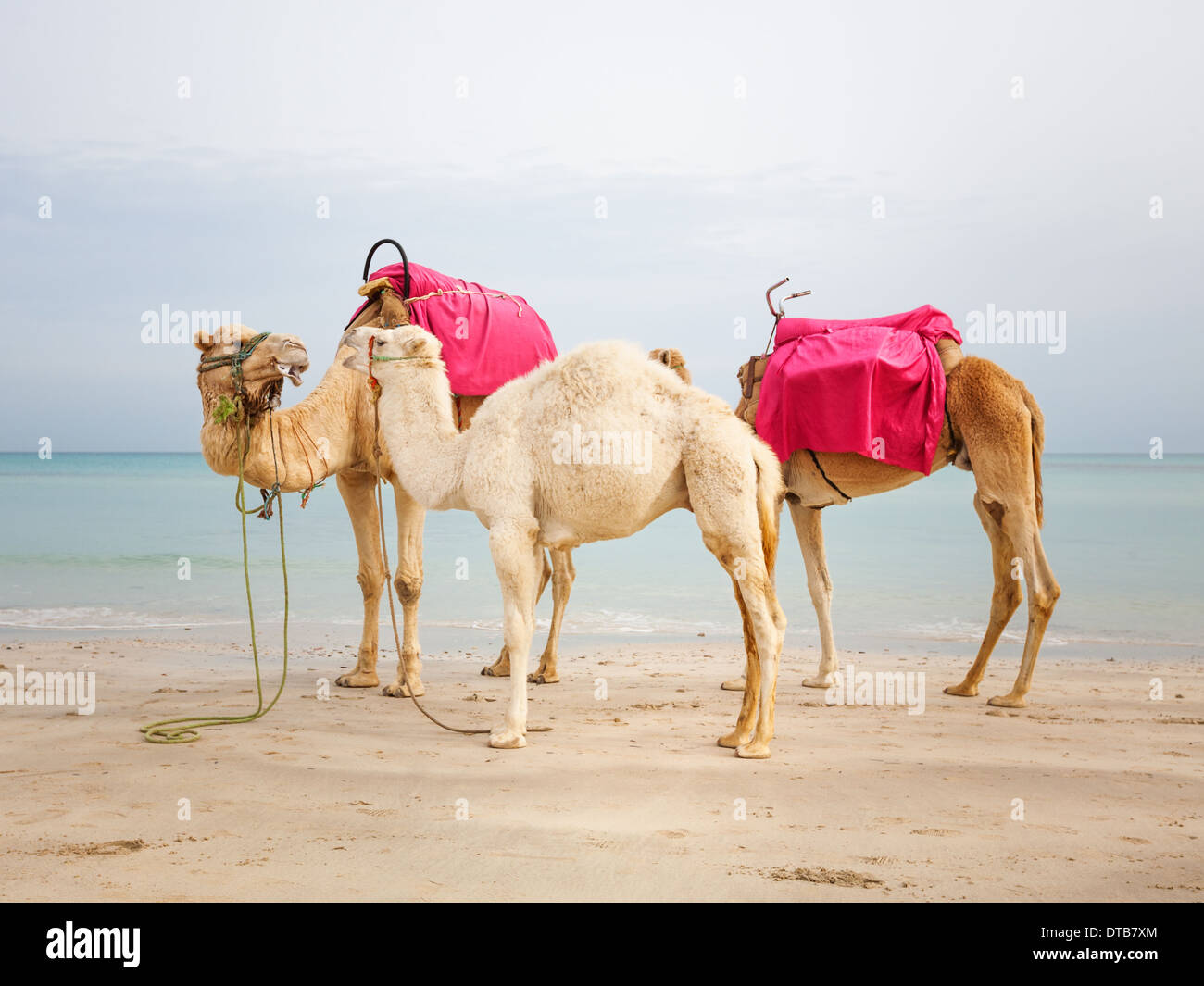 Two camels and white baby dromedary on the beach in Tunesia - Stock Image