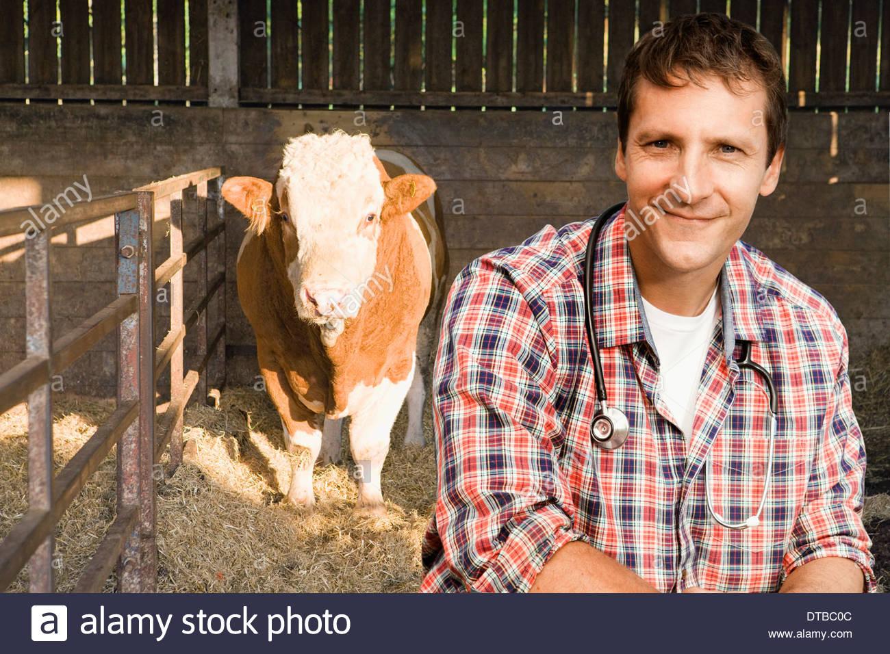 Vet Examining Fresian Bull In Barn - Stock Image