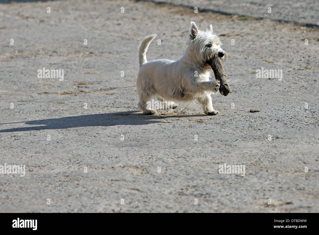 Koenigs Wusterhausen , Germany , West Highland White Terrier playing with a branch - Stock Image
