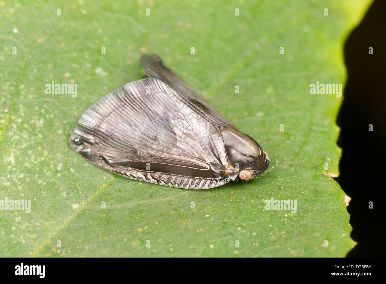 Planthopper (Ricaniidae). The family Ricaniidae is a group of hemipteran insects, containing over 40 genera and 400 species worl - Stock Image