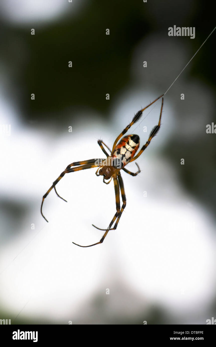 Leucauge is a spider genus. The body and leg shapes and the silver, black and yellow markings of Leucauge females make identific - Stock Image