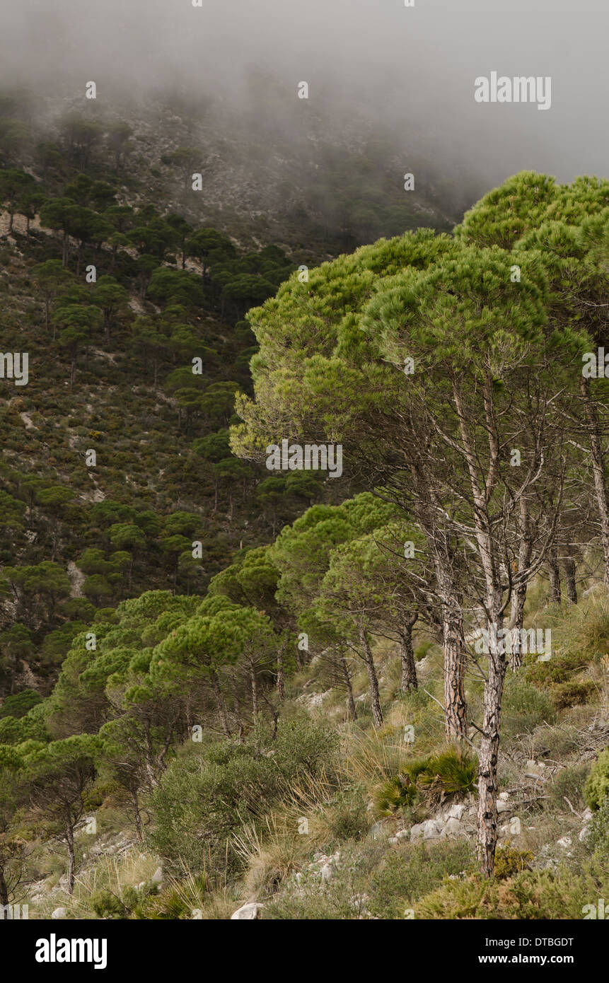Aleppo Pines, Pinus halepensis, in the mountains of Mijas, with clouds coming down, Spain. - Stock Image