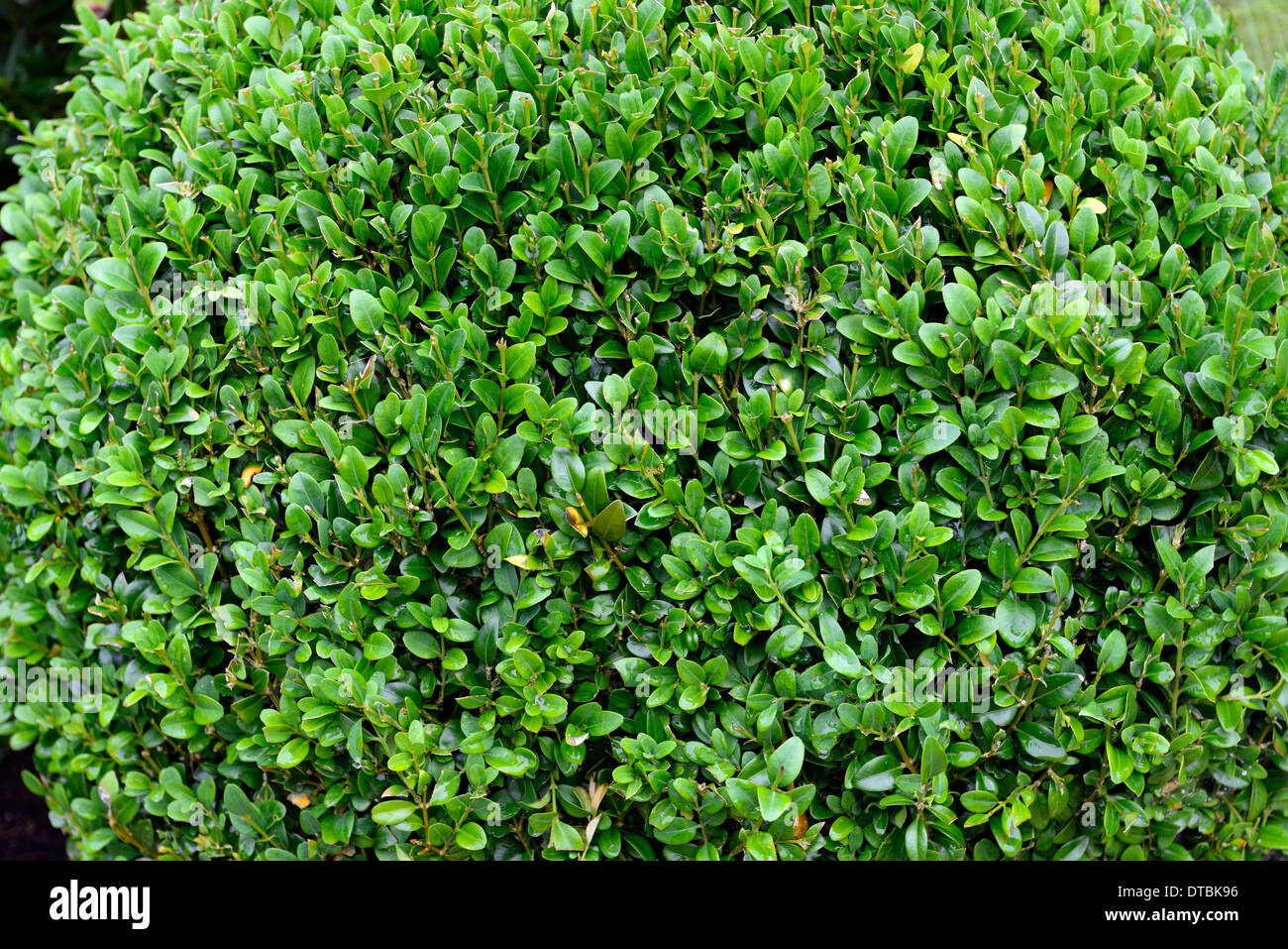 Buxus Sempervirens Box Hedge Plant Round Ball Bush Shape Shapes Topiary Garden  Gardening Shrub Shrubs Evergreen