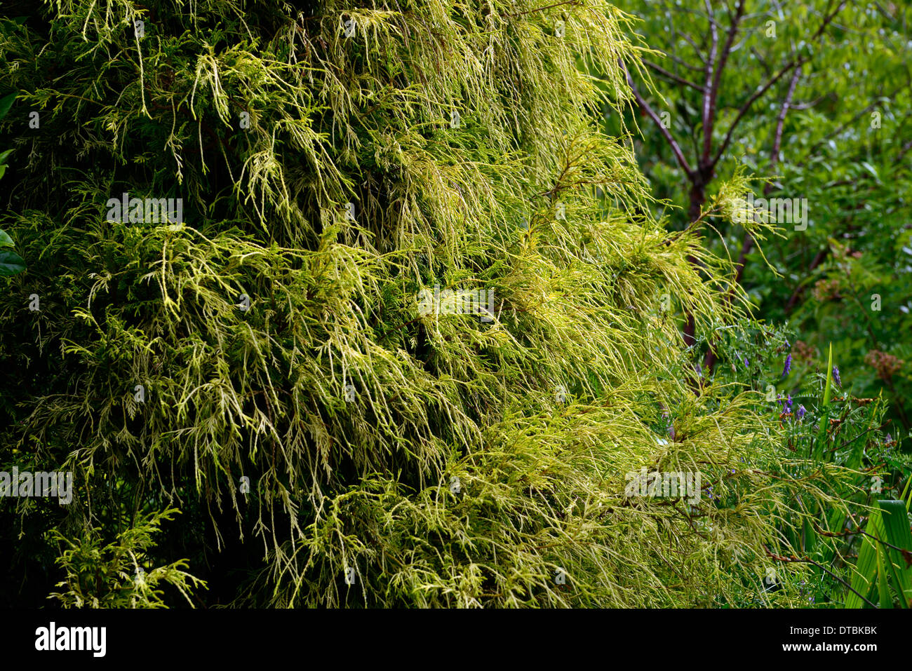 chamaecyparis pisifera filifera aurea nana evergreen conifer conifers evergreens foliage leaves mound appearance - Stock Image