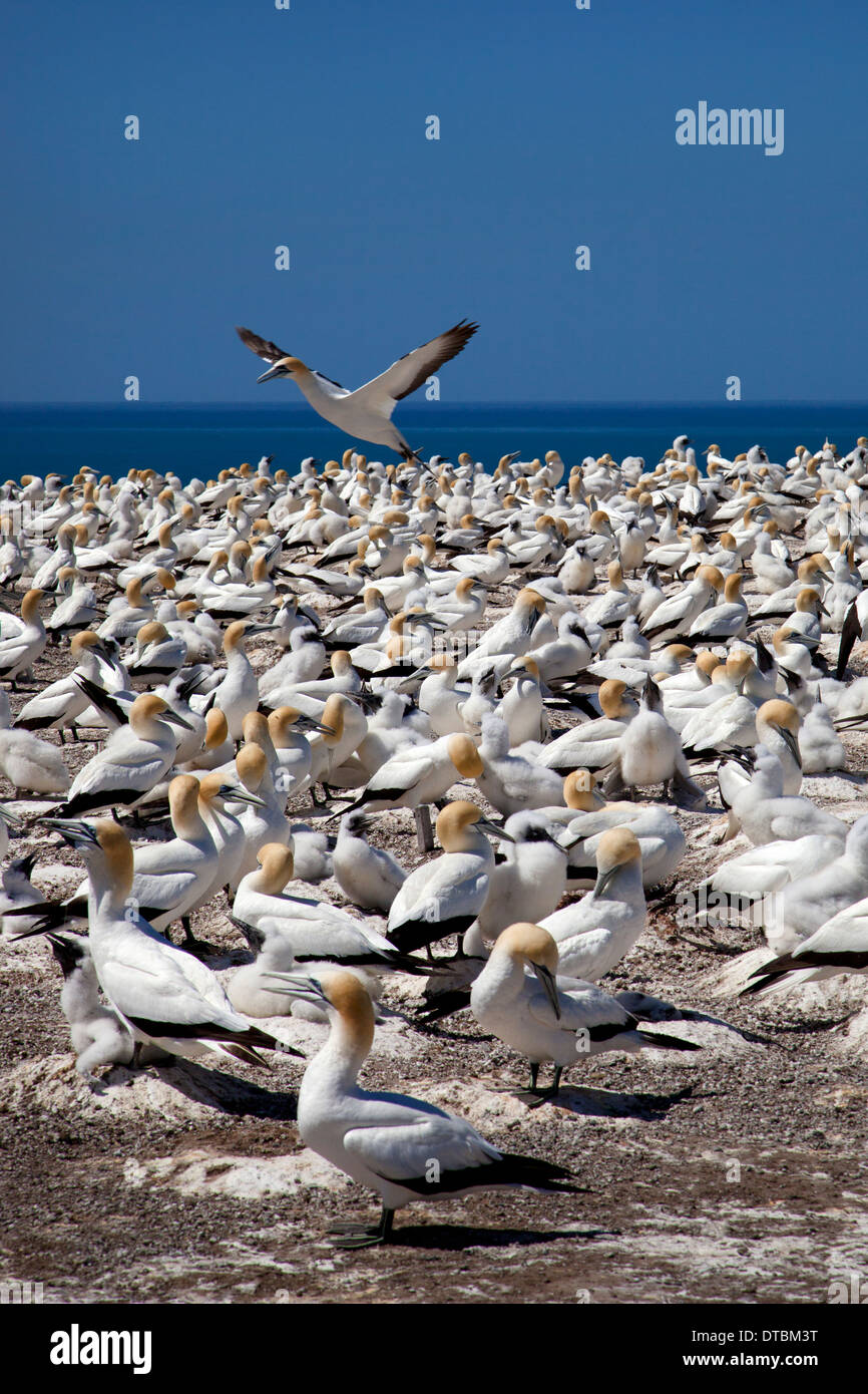 Cape kidnappers and Gannet Colony, Hawke Bay near Hastings, North Island, New Zealand - Stock Image
