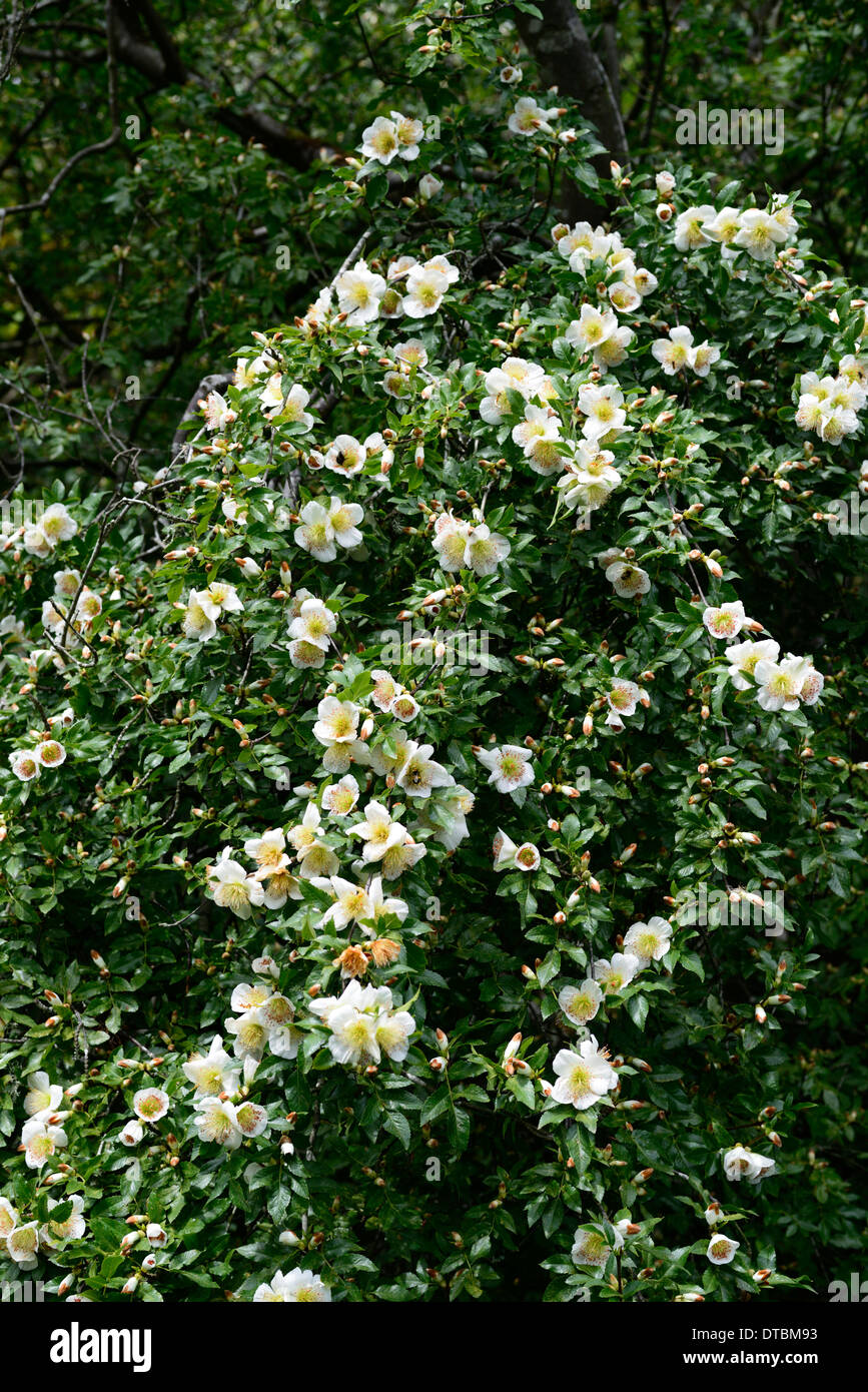 Eucryphia glutinosa white flower flowering bloom blooms tree trees eucryphia glutinosa white flower flowering bloom blooms tree trees mightylinksfo