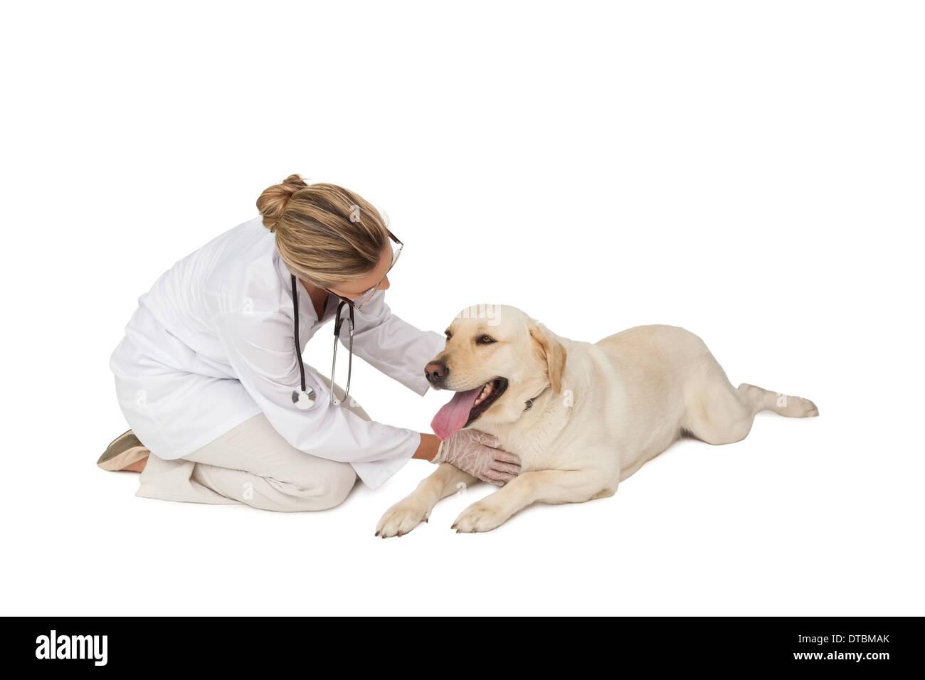 Pretty vet stroking yellow labrador dog - Stock Image