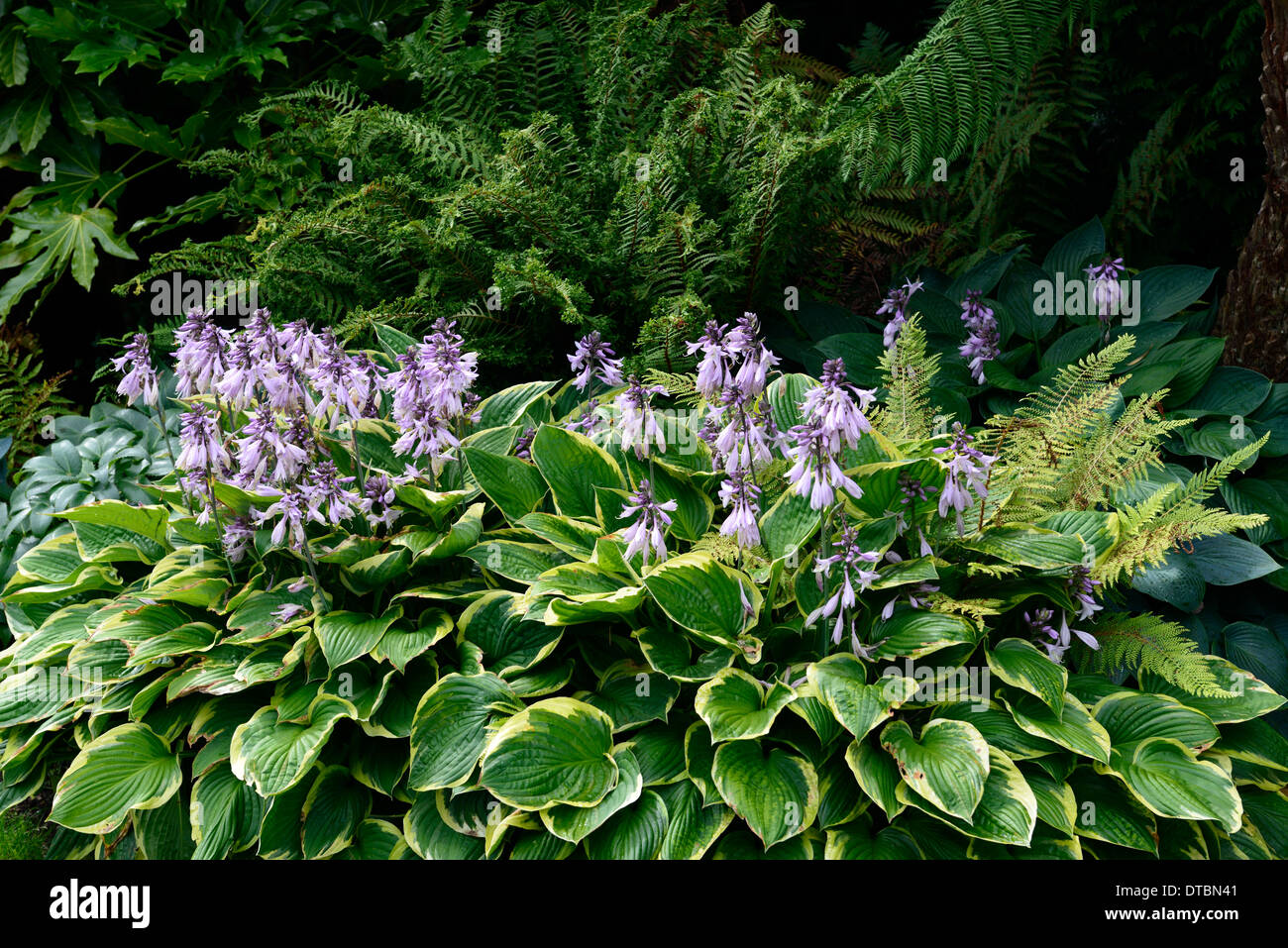 Hosta Green White Variegated Leaves Foliage Purple Flower Flowers